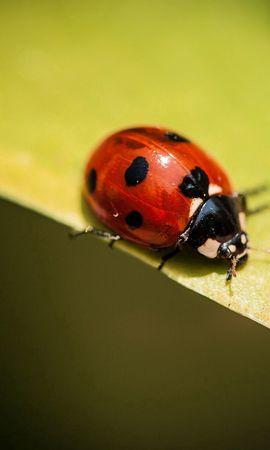 お使いの携帯電話の118094スクリーンセーバーと壁紙昆虫。 大きい, マクロ, 昆虫, てんとう虫, 天道虫, 工場, 植物, シート, 葉の写真を無料でダウンロード