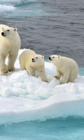 38708 baixar papel de parede Animais, Bears - protetores de tela e imagens gratuitamente