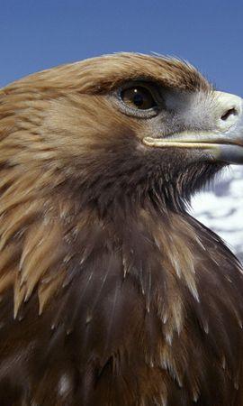 11747 baixar papel de parede Animais, Aves, Eagles - protetores de tela e imagens gratuitamente