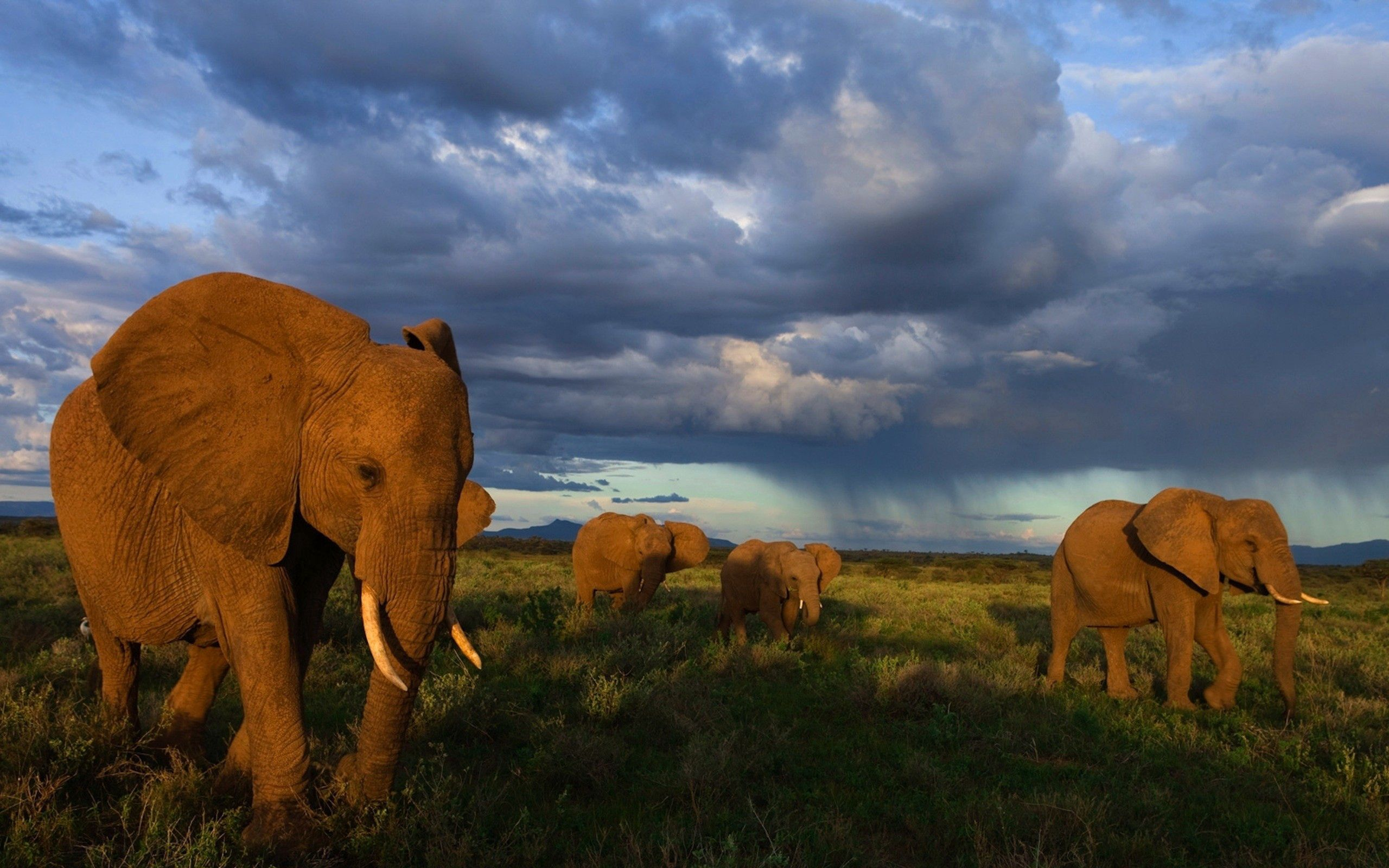 51627 Screensavers and Wallpapers Stroll for phone. Download Animals, Grass, Elephants, Stroll, Herd pictures for free