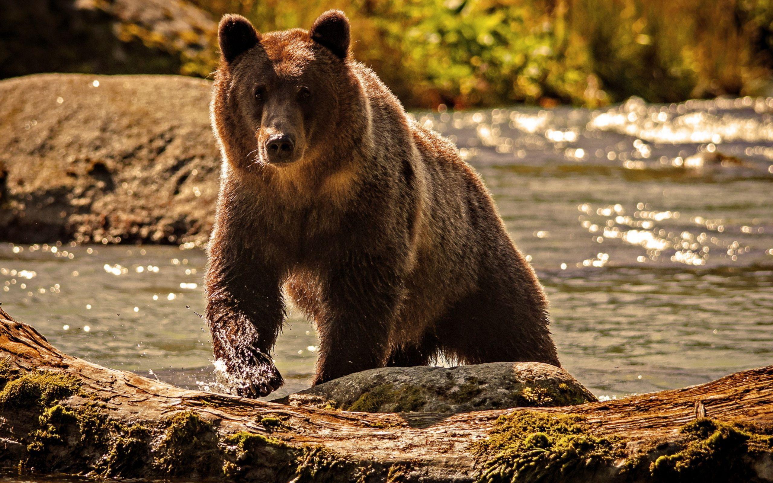 36857 Заставки и Обои Медведи на телефон. Скачать Медведи, Животные картинки бесплатно