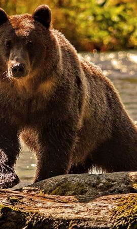 36857 download wallpaper Animals, Bears screensavers and pictures for free