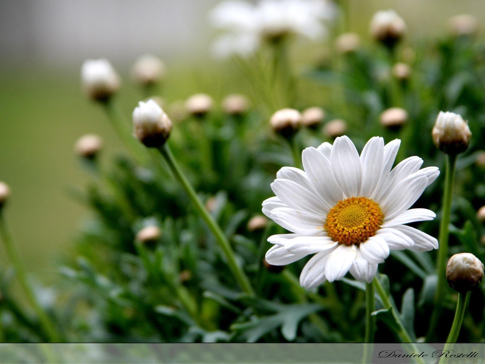 5132 скачать обои Растения, Цветы, Ромашки - заставки и картинки бесплатно