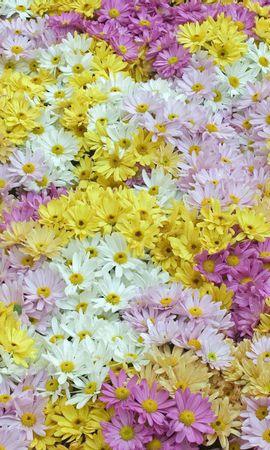 97388 скачать Фиолетовые обои на телефон бесплатно, Цветы, Маргаритки, Поле, Фон, Розовые Фиолетовые картинки и заставки на мобильный
