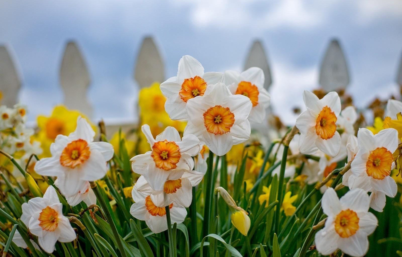 71517 Заставки и Обои Нарциссы на телефон. Скачать Цветы, Нарциссы, Клумба, Крупный План, Ограда картинки бесплатно