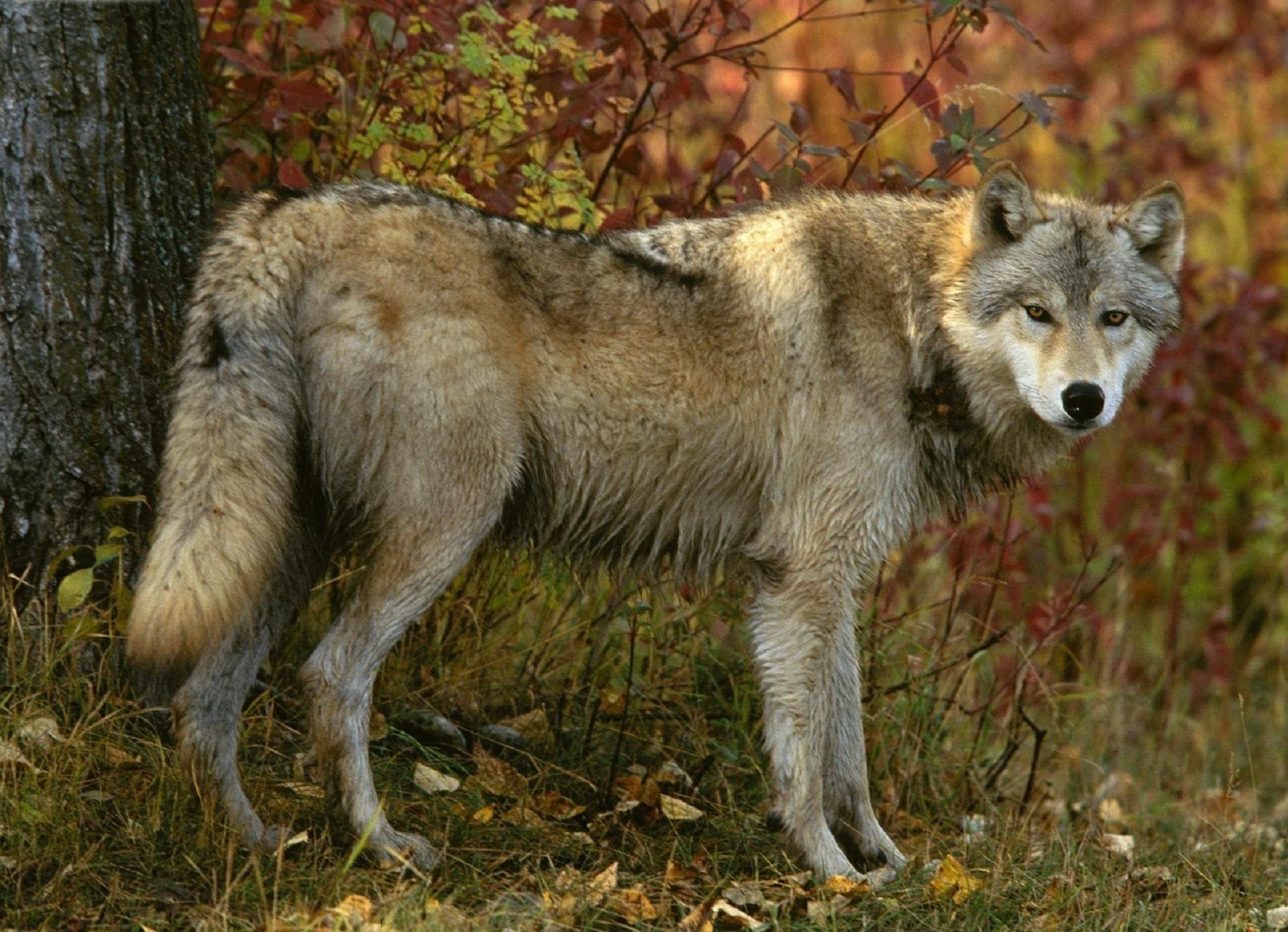 131159 papel de parede 720x1280 em seu telefone gratuitamente, baixe imagens Animais, Outono, Madeira, Floresta, Árvore, Predator, Predador, Lobo 720x1280 em seu celular