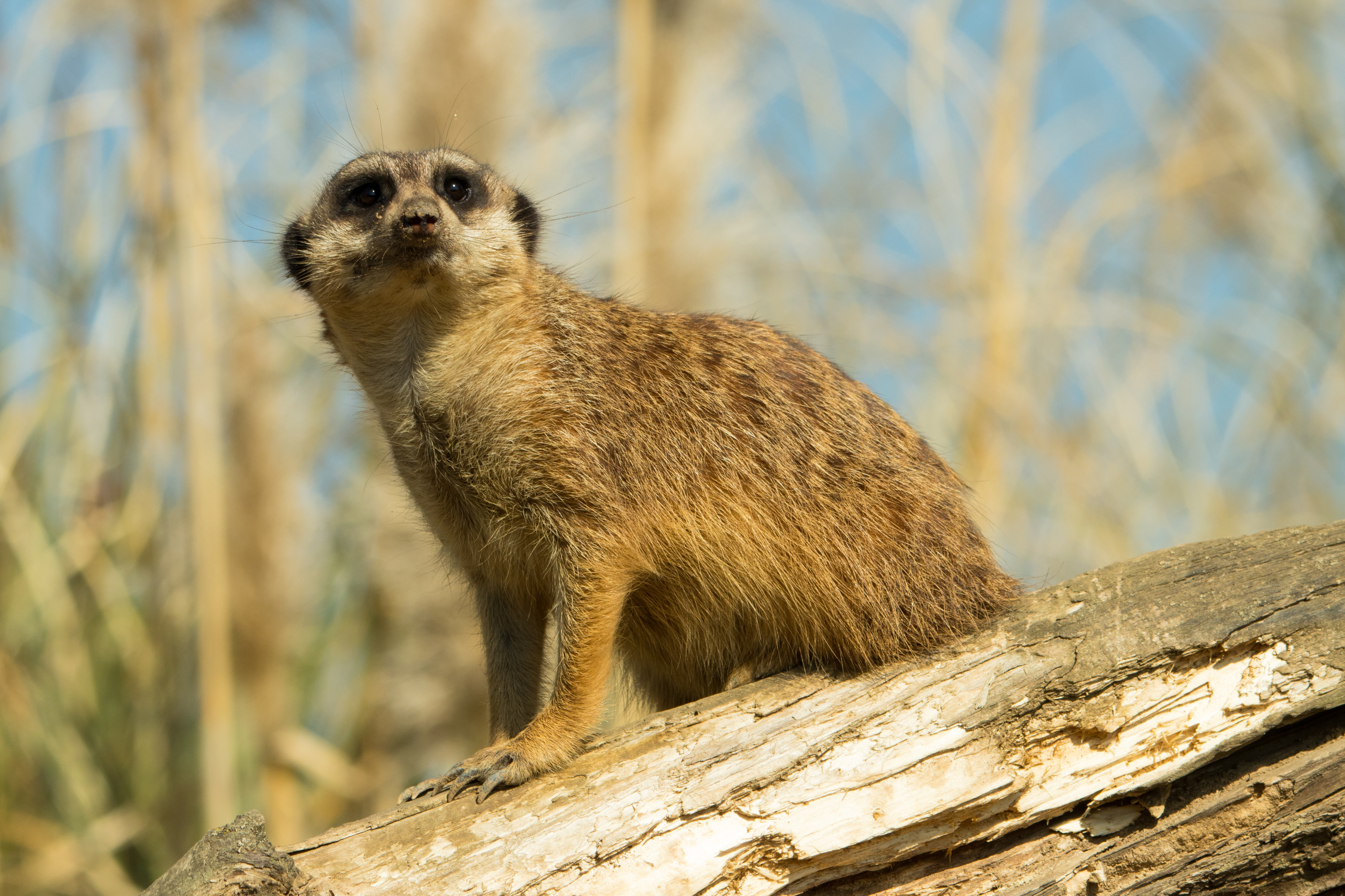 101476 download wallpaper Animals, Meerkat, Surikat, Animal, Sight, Opinion screensavers and pictures for free