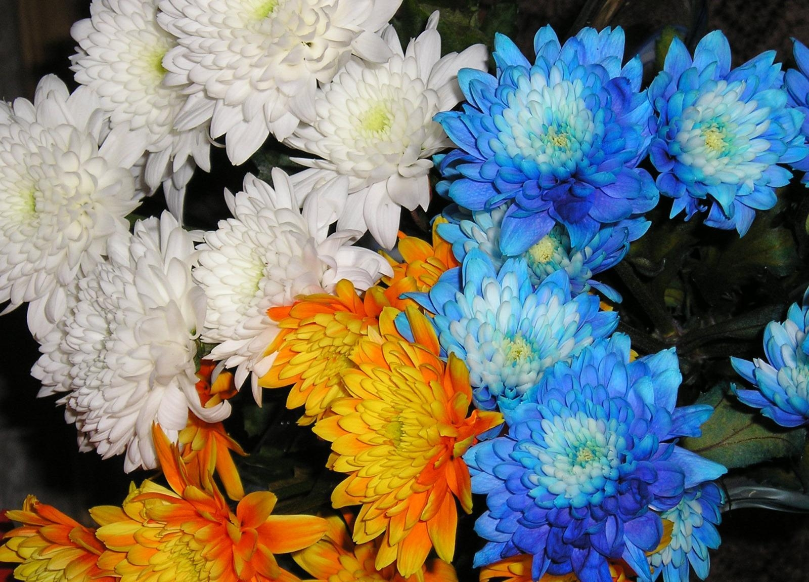 115528 скачать обои Хризантемы, Цветы, Крупный План - заставки и картинки бесплатно