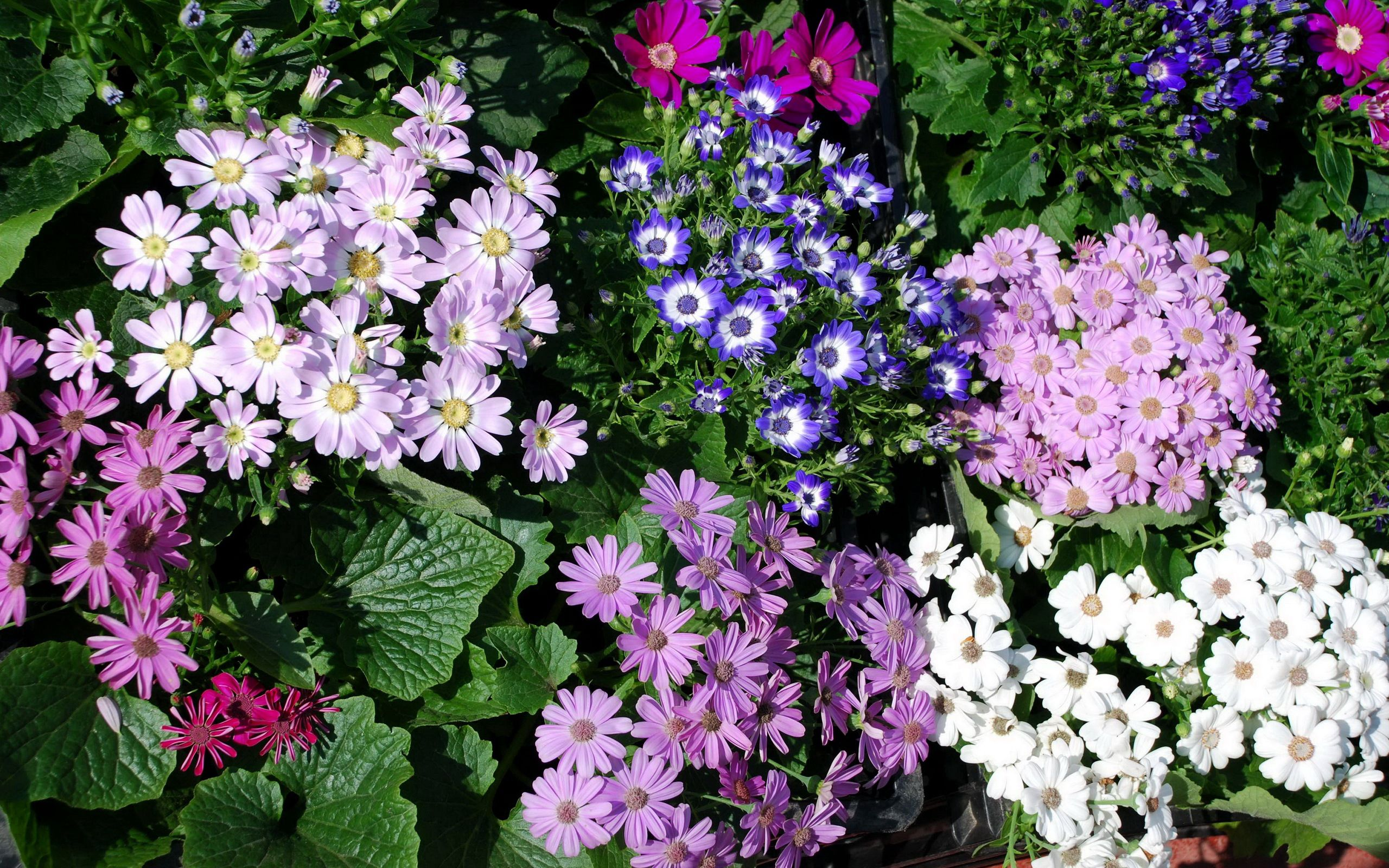87975 download wallpaper Flowers, Lot, Different, Greens, Chrysanthemum screensavers and pictures for free