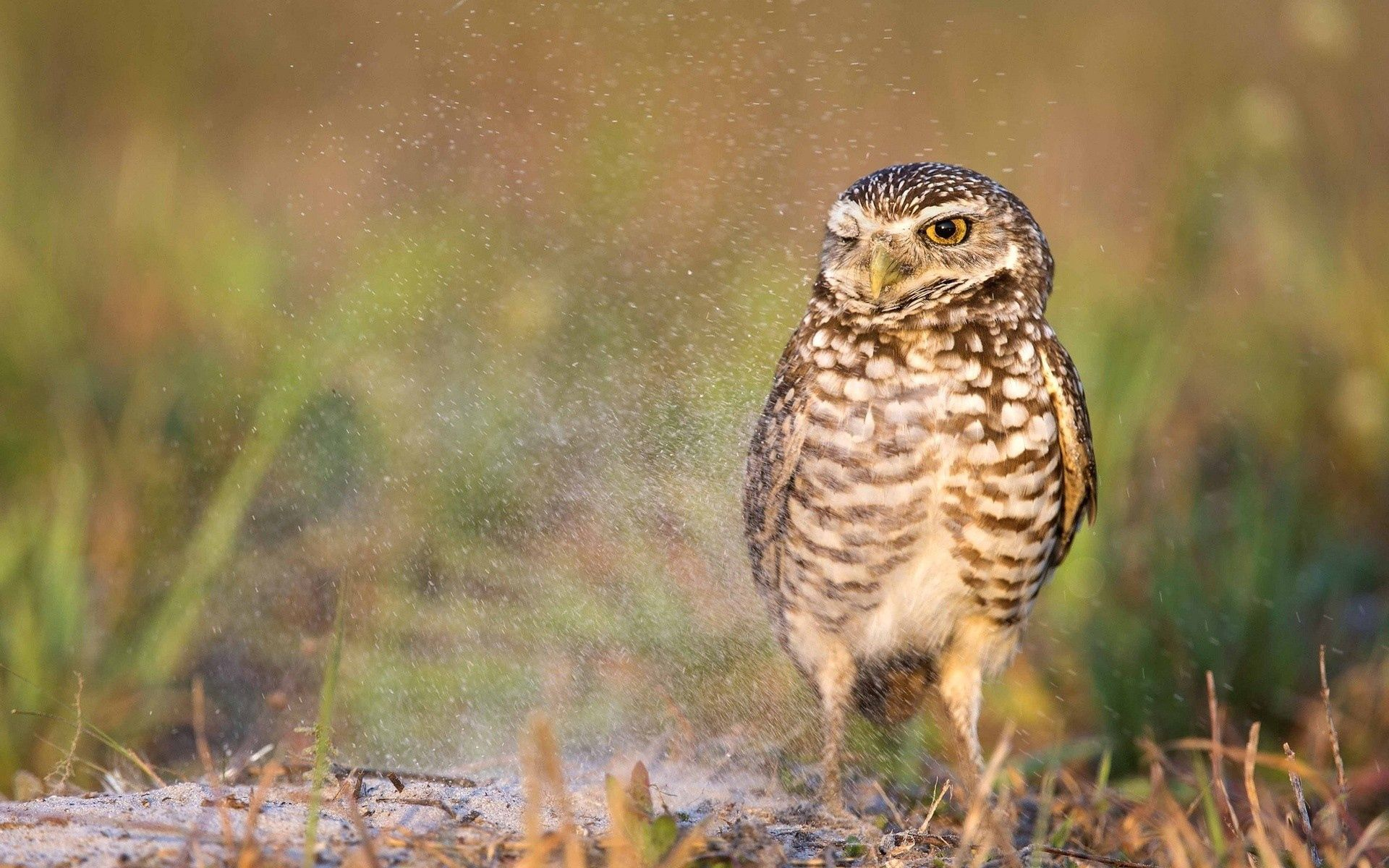 155592 download wallpaper Animals, Owl, Bird, Predator screensavers and pictures for free