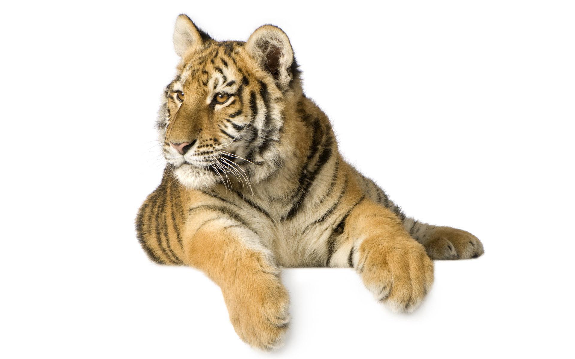 21656 скачать обои Животные, Тигры - заставки и картинки бесплатно