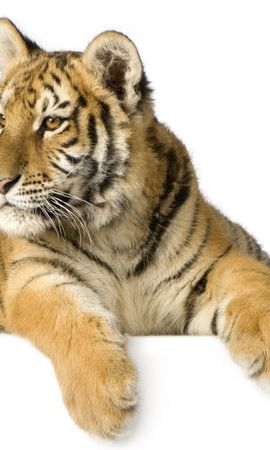 21656 download wallpaper Animals, Tigers screensavers and pictures for free