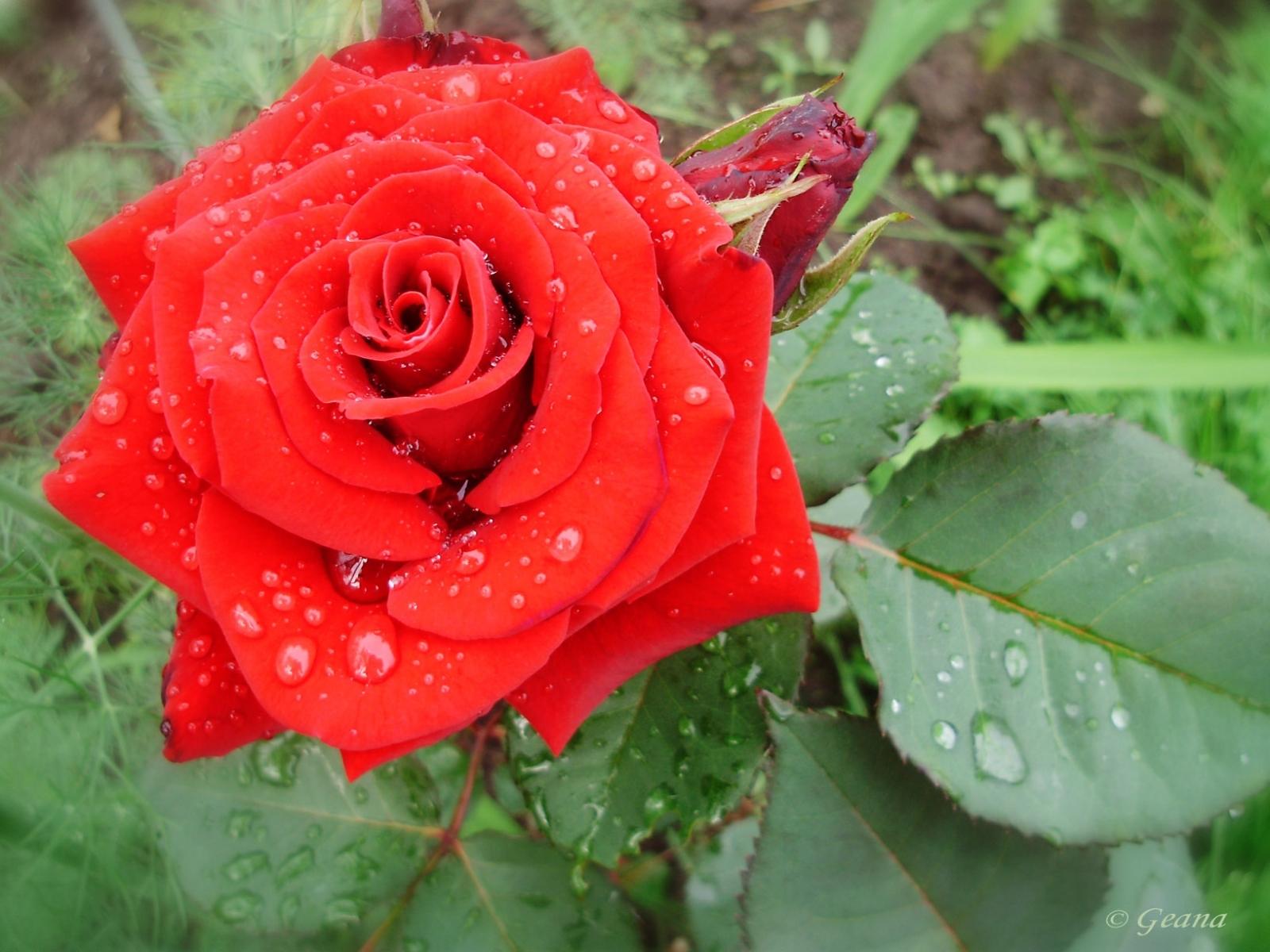 9463 Заставки и Обои 8 Марта на телефон. Скачать Праздники, Растения, Цветы, Розы, 8 Марта картинки бесплатно