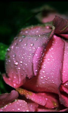 27094 скачать обои Растения, Цветы, Розы, Капли - заставки и картинки бесплатно