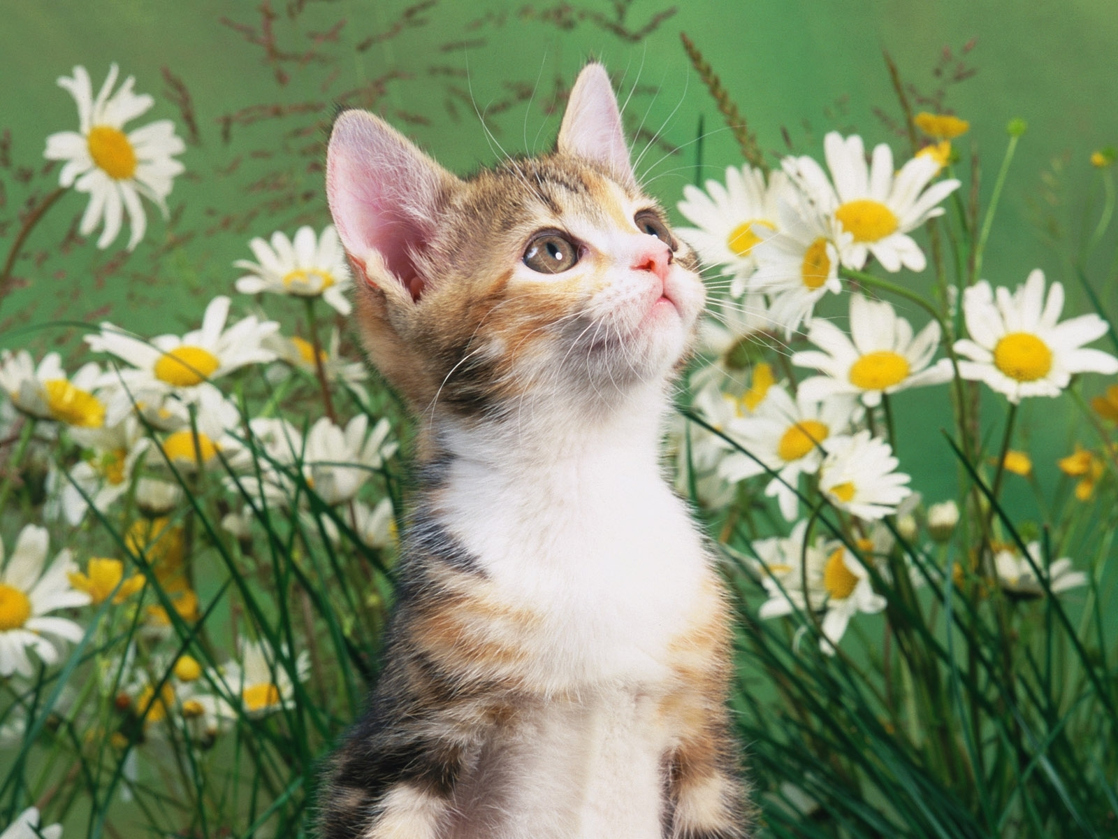 1096 download wallpaper Animals, Cats screensavers and pictures for free