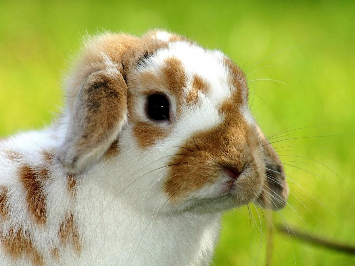 48746 download wallpaper Animals, Rabbits screensavers and pictures for free