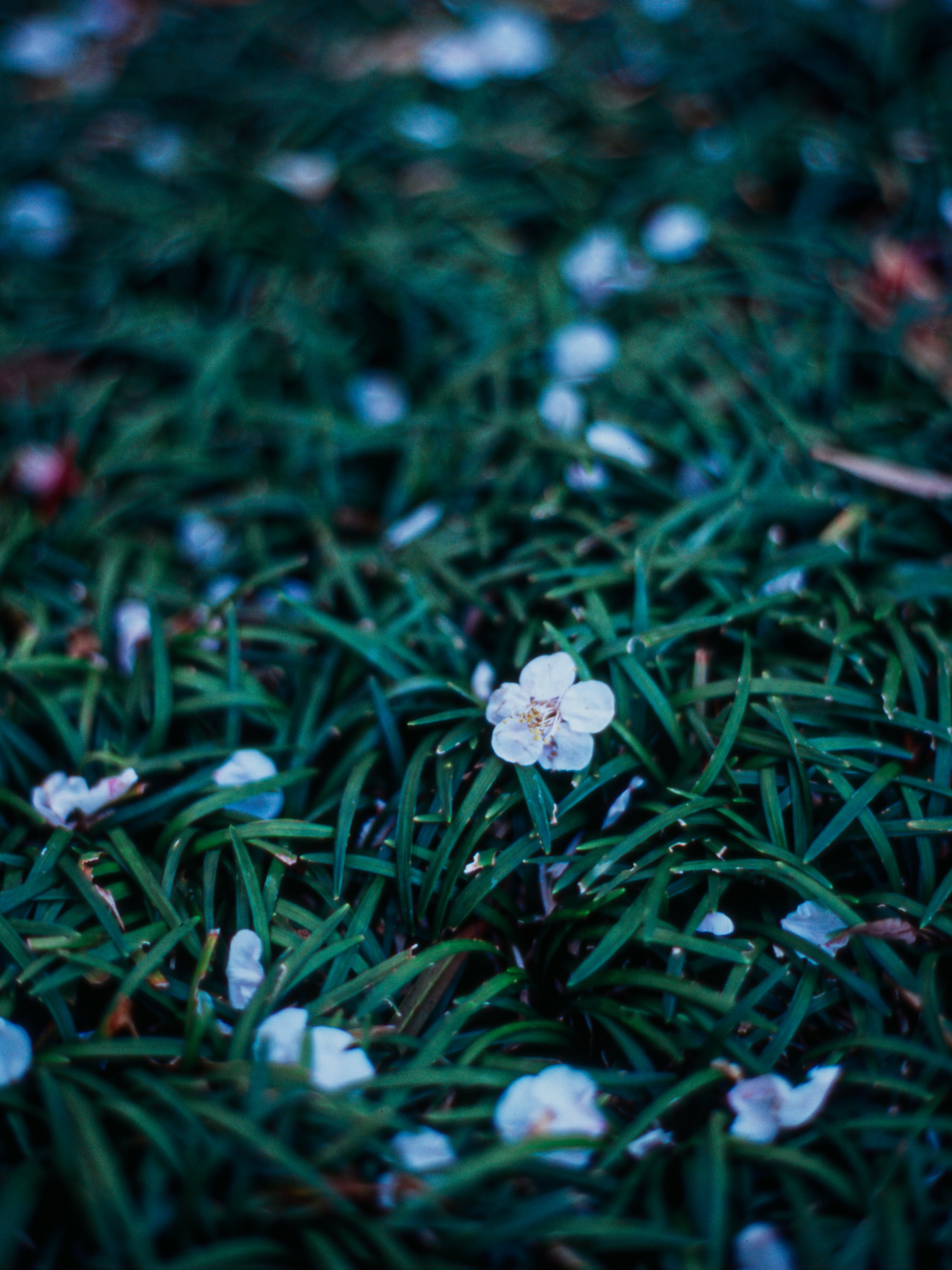 105577 download wallpaper Flowers, Plant, Grass, Dusk, Twilight screensavers and pictures for free
