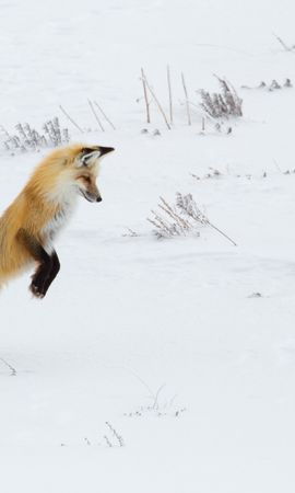 94305 download wallpaper Animals, Fox, Funny, Predator, Snow screensavers and pictures for free