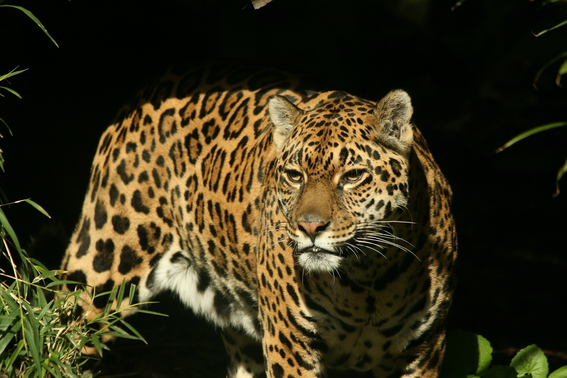 146180 download wallpaper Animals, Jaguar, Grass, Background, Dark, Predator, Sight, Opinion, Watch, To Watch screensavers and pictures for free