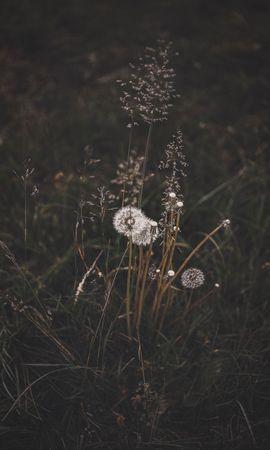 94242 скачать обои Природа, Одуванчики, Трава, Растения, Цветение, Дикий - заставки и картинки бесплатно