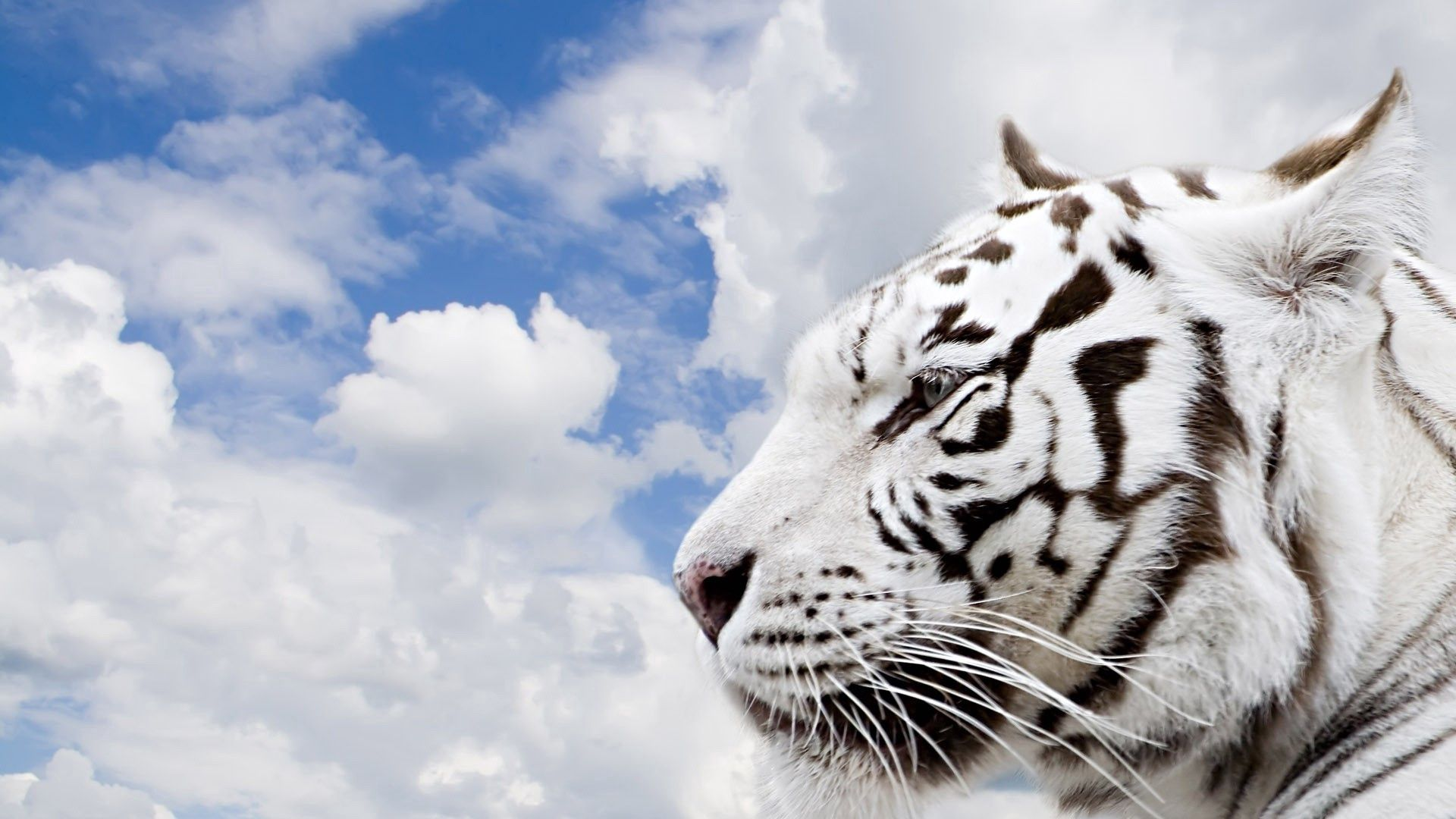 56609 download wallpaper Animals, Tiger, Sky, Clouds, Muzzle, Predator screensavers and pictures for free