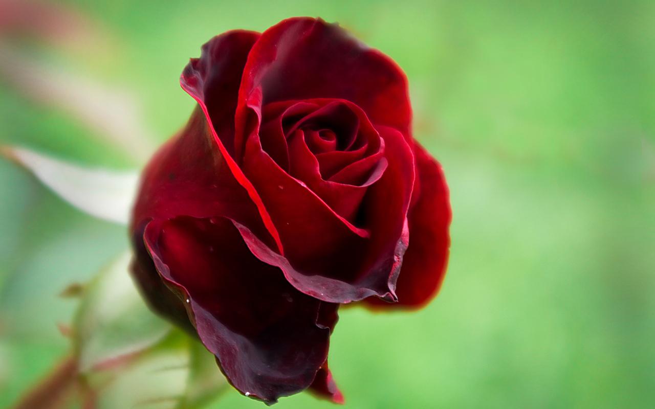 40786 Hintergrundbild herunterladen Pflanzen, Blumen, Roses - Bildschirmschoner und Bilder kostenlos