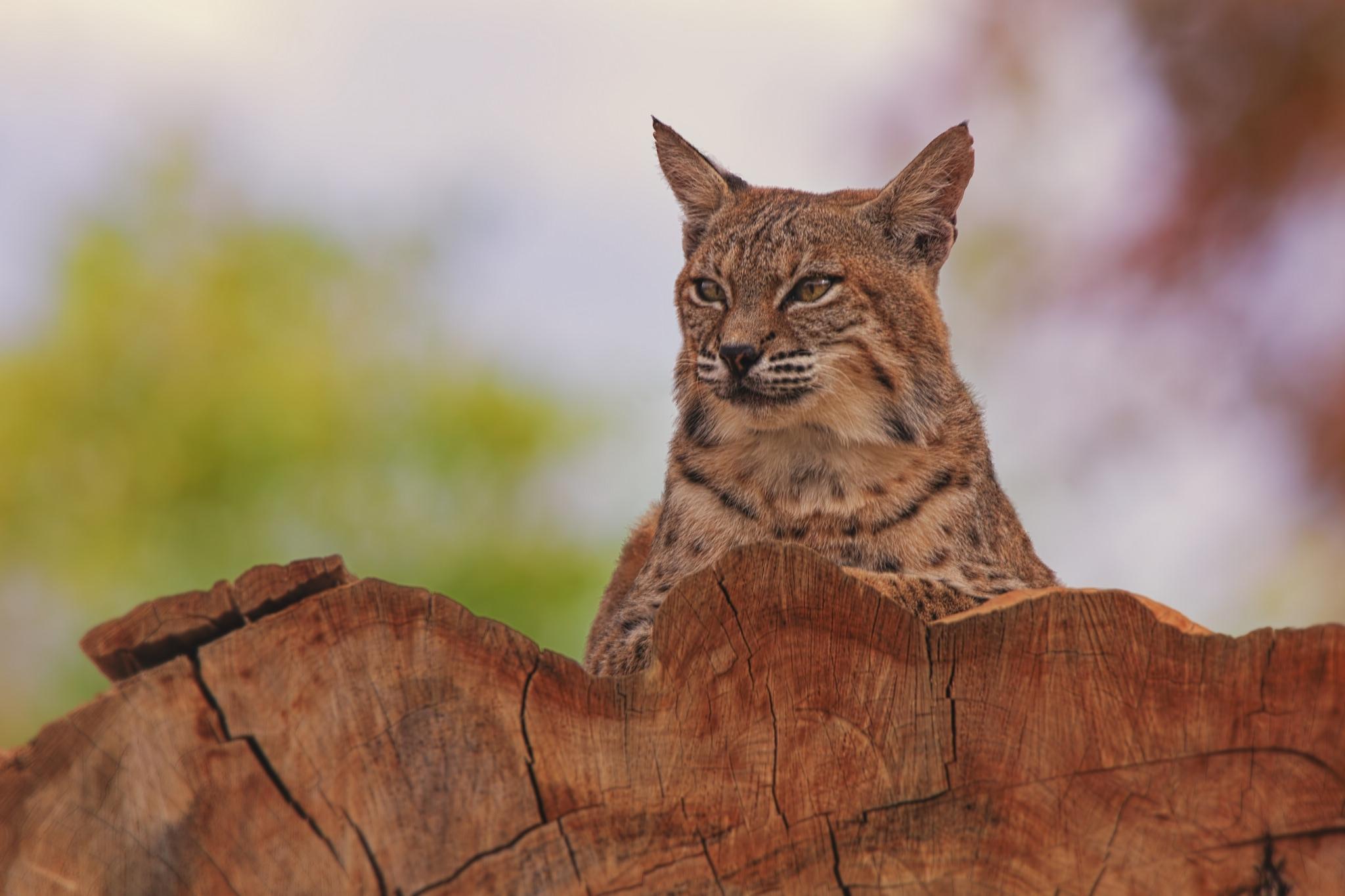 117884 download wallpaper Animals, Iris, Beast, Predator, Big Cat screensavers and pictures for free