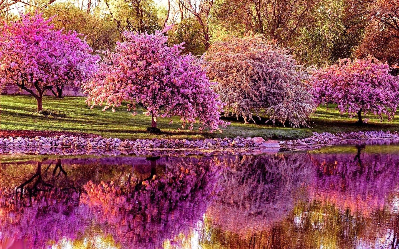 75543 Screensavers and Wallpapers Sakura for phone. Download Nature, Trees, Sakura, Reflection, Pond, Spring pictures for free