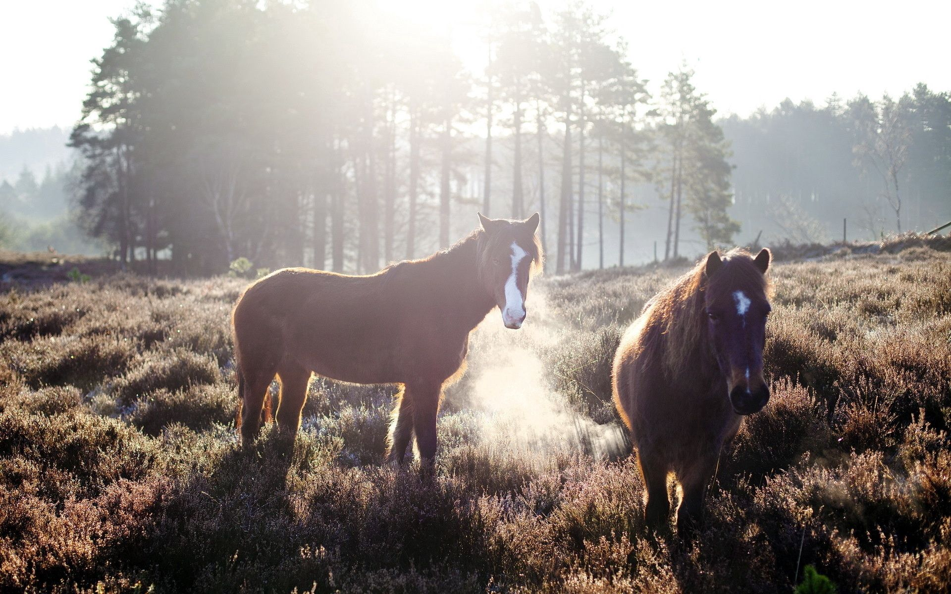 57178 Screensavers and Wallpapers Horses for phone. Download Animals, Trees, Grass, Horses, Fog, Field pictures for free