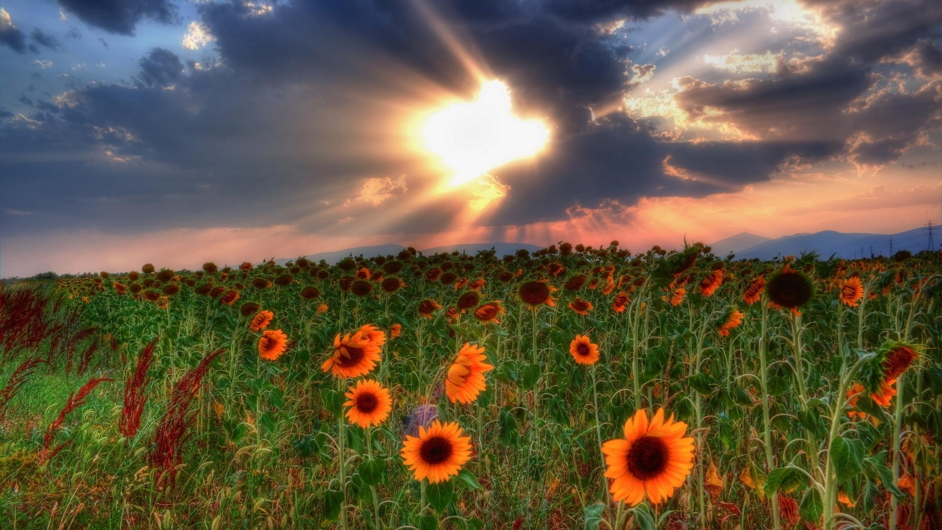 47828 скачать обои Растения, Пейзаж, Природа, Поля, Подсолнухи - заставки и картинки бесплатно