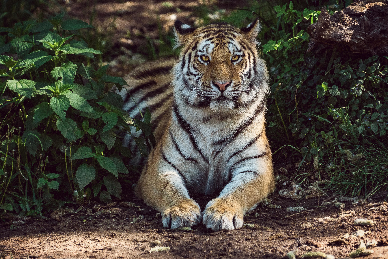 69903 обои 240x320 на телефон бесплатно, скачать картинки Тигр, Животные, Лежит, Хищник, Большая Кошка 240x320 на мобильный
