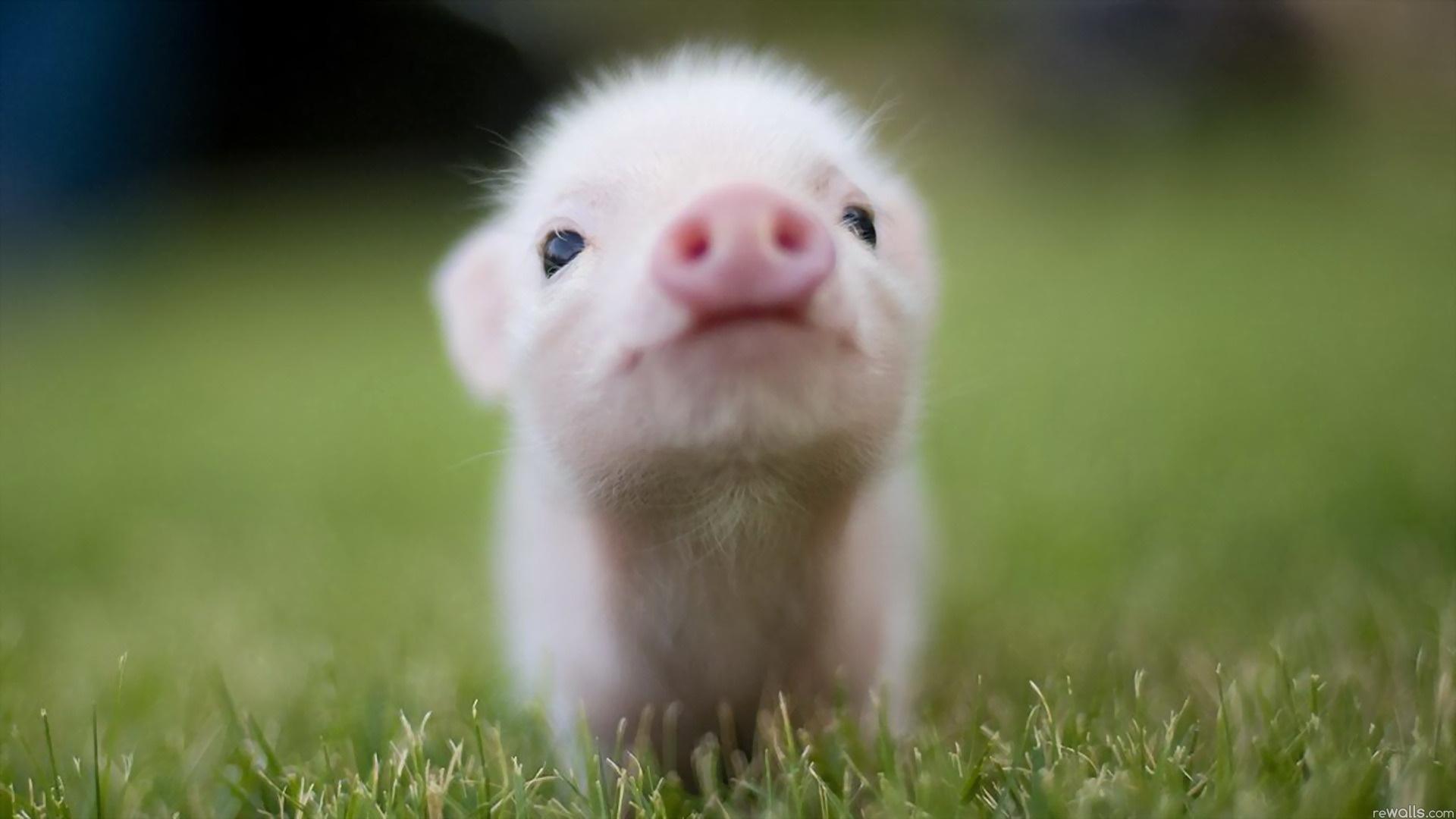 Laden Sie das kostenlose Hintergrundbild 18438: Tiere, Schweine Hintergrundbild für das Handy herunter