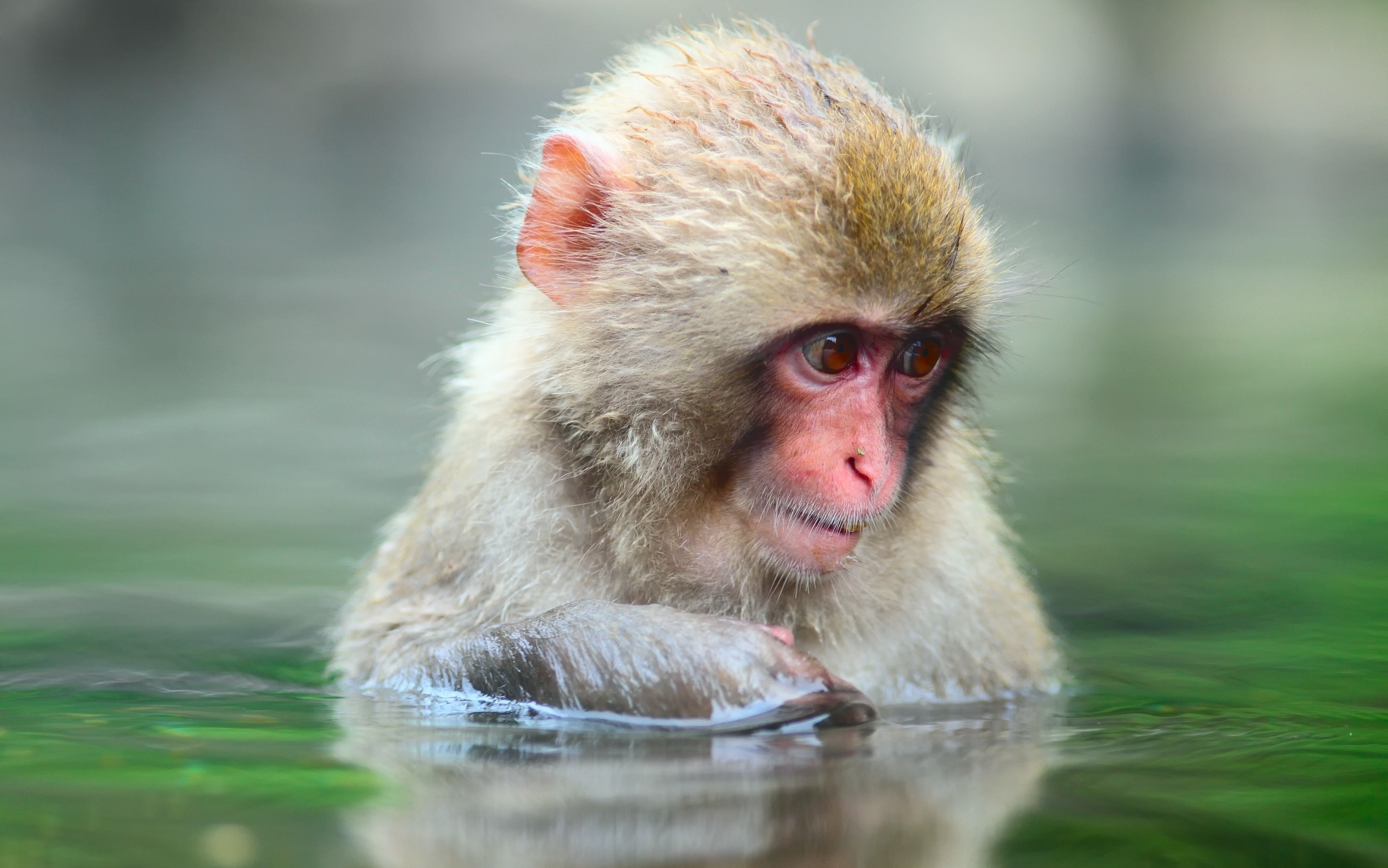 43469 Screensavers and Wallpapers Monkeys for phone. Download Animals, Monkeys pictures for free