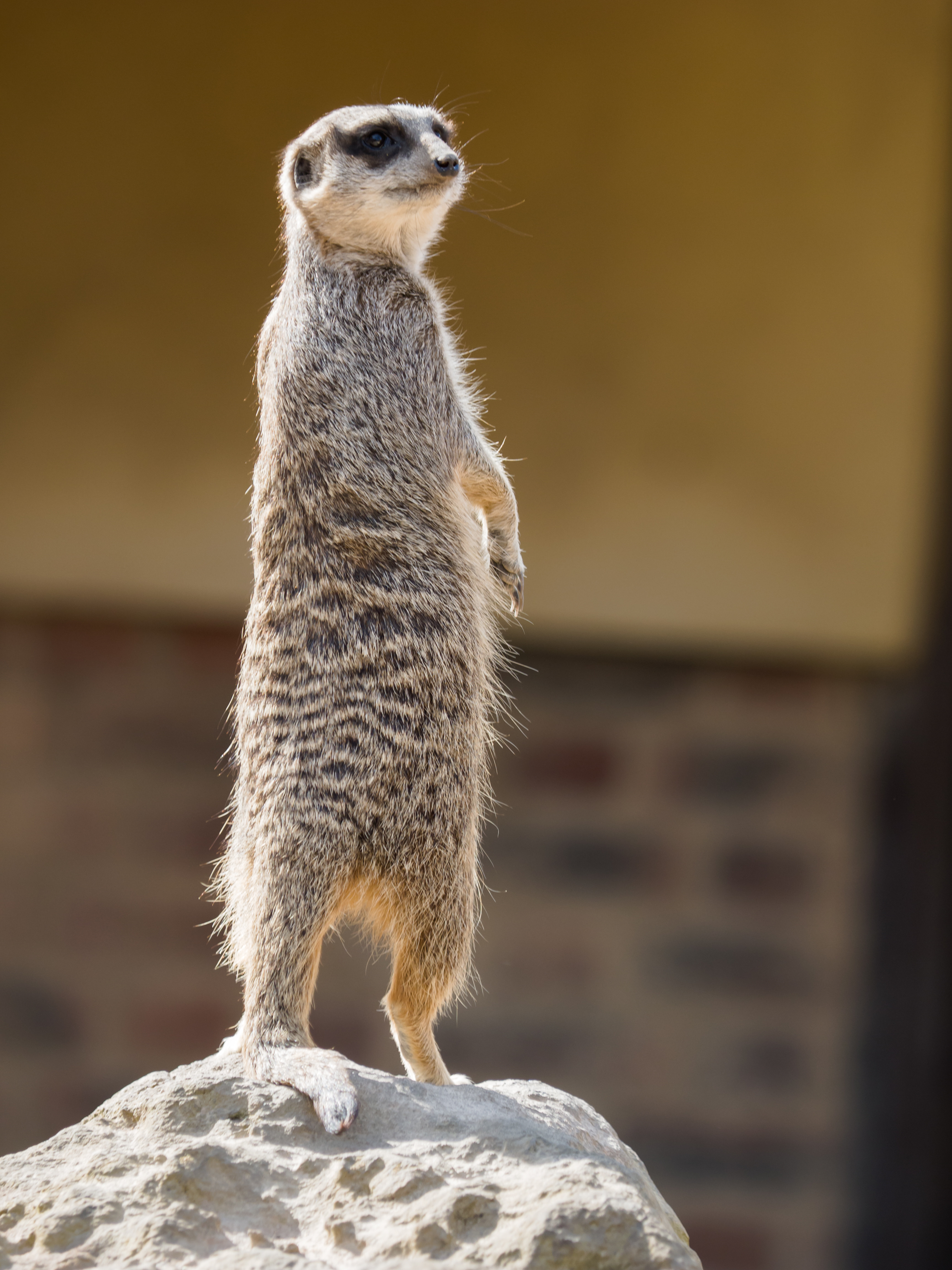 108930 download wallpaper Animals, Meerkat, Surikat, Animal, Sight, Opinion, Funny screensavers and pictures for free