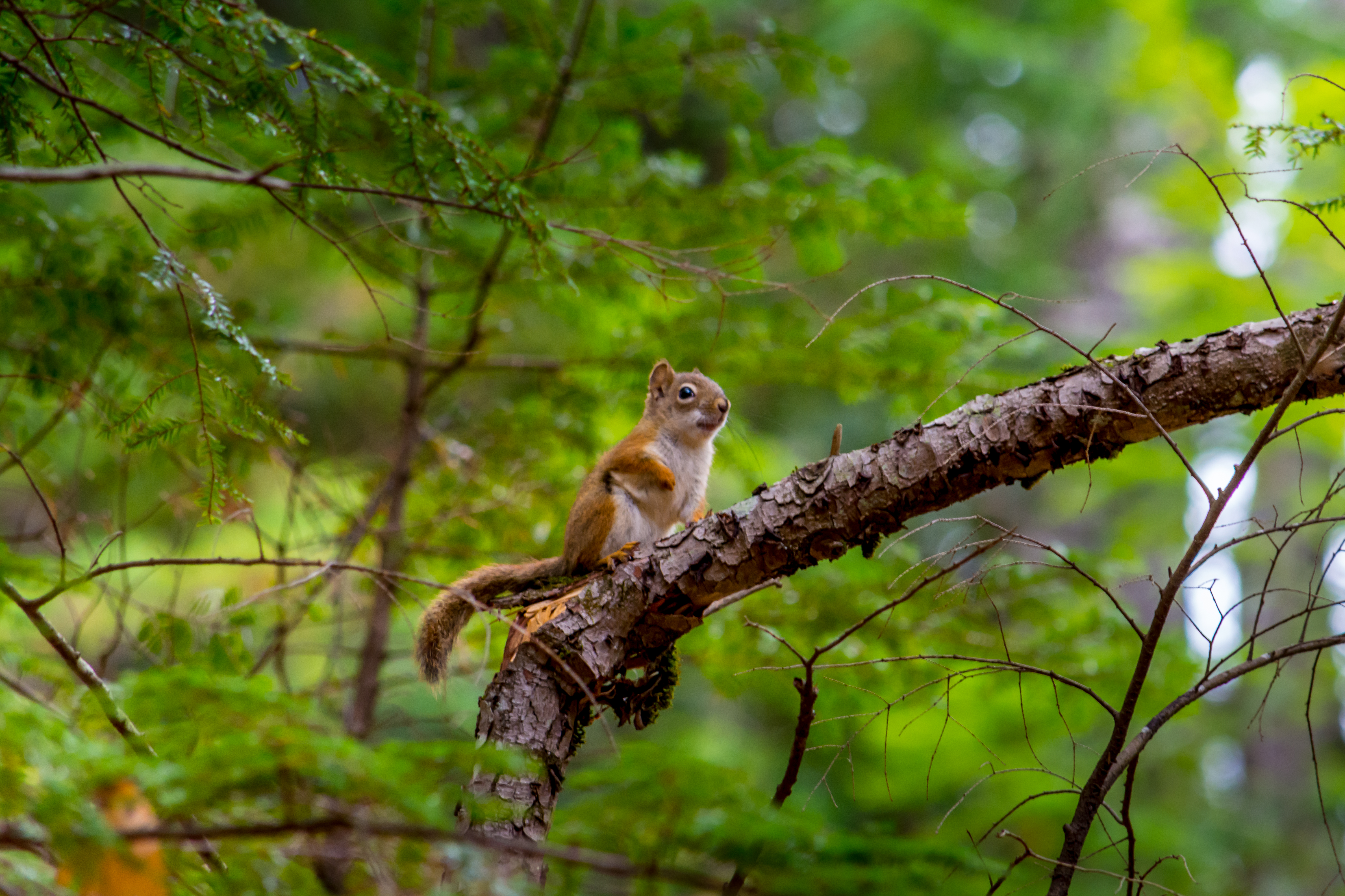 68350 download wallpaper Animals, Squirrel, Rodent, Nice, Sweetheart, Animal, Branch screensavers and pictures for free