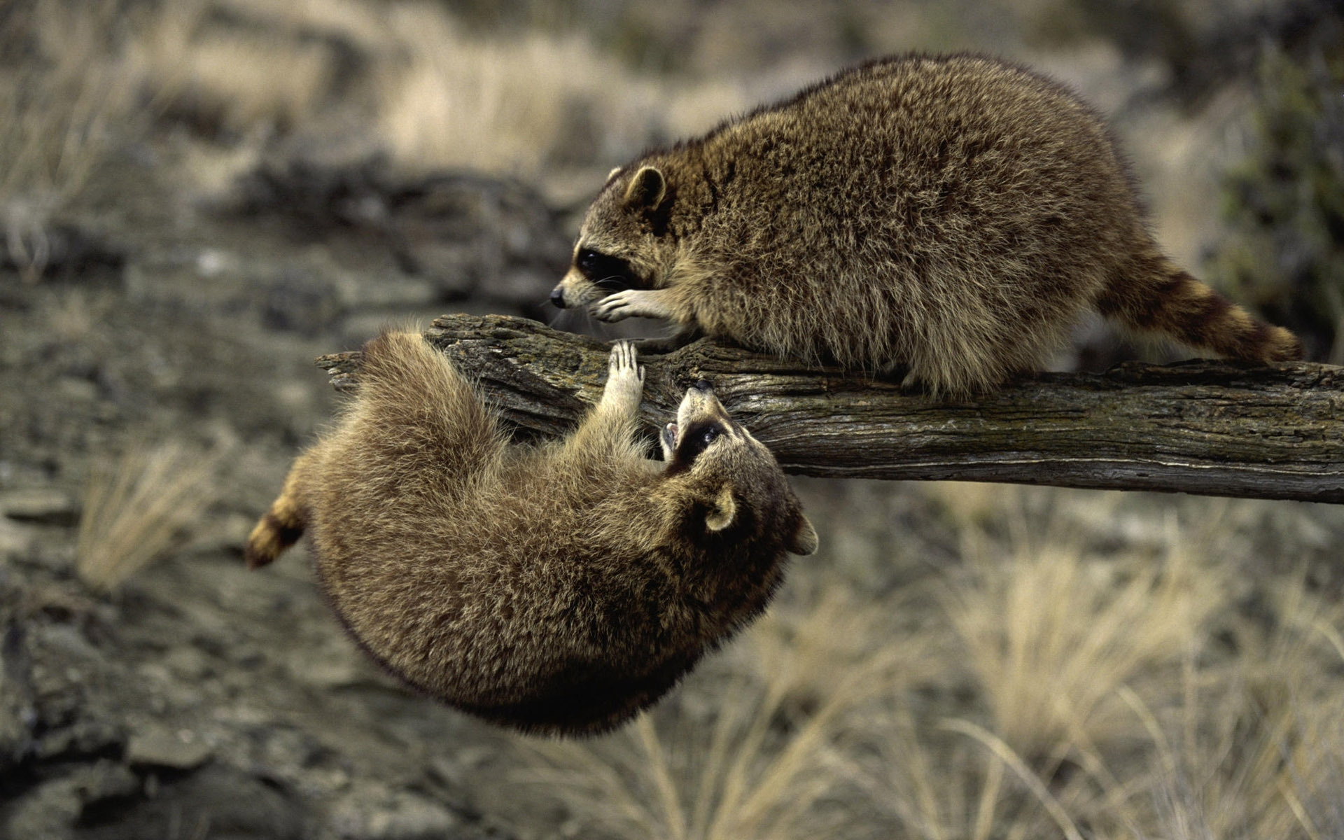 35372 download wallpaper Animals, Raccoons screensavers and pictures for free
