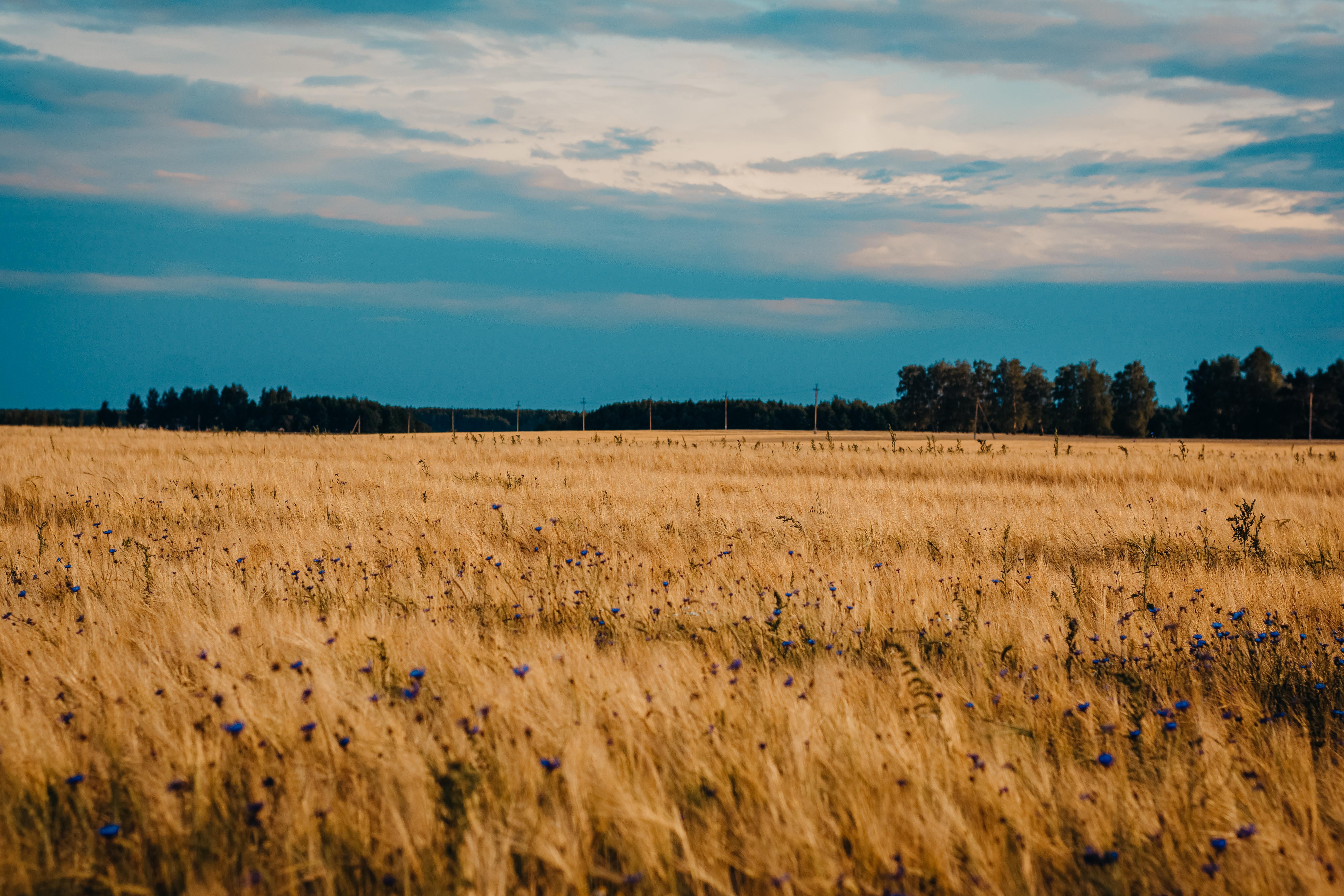 56343 скачать обои Поле, Васильки, Природа, Цветы, Пшеница - заставки и картинки бесплатно