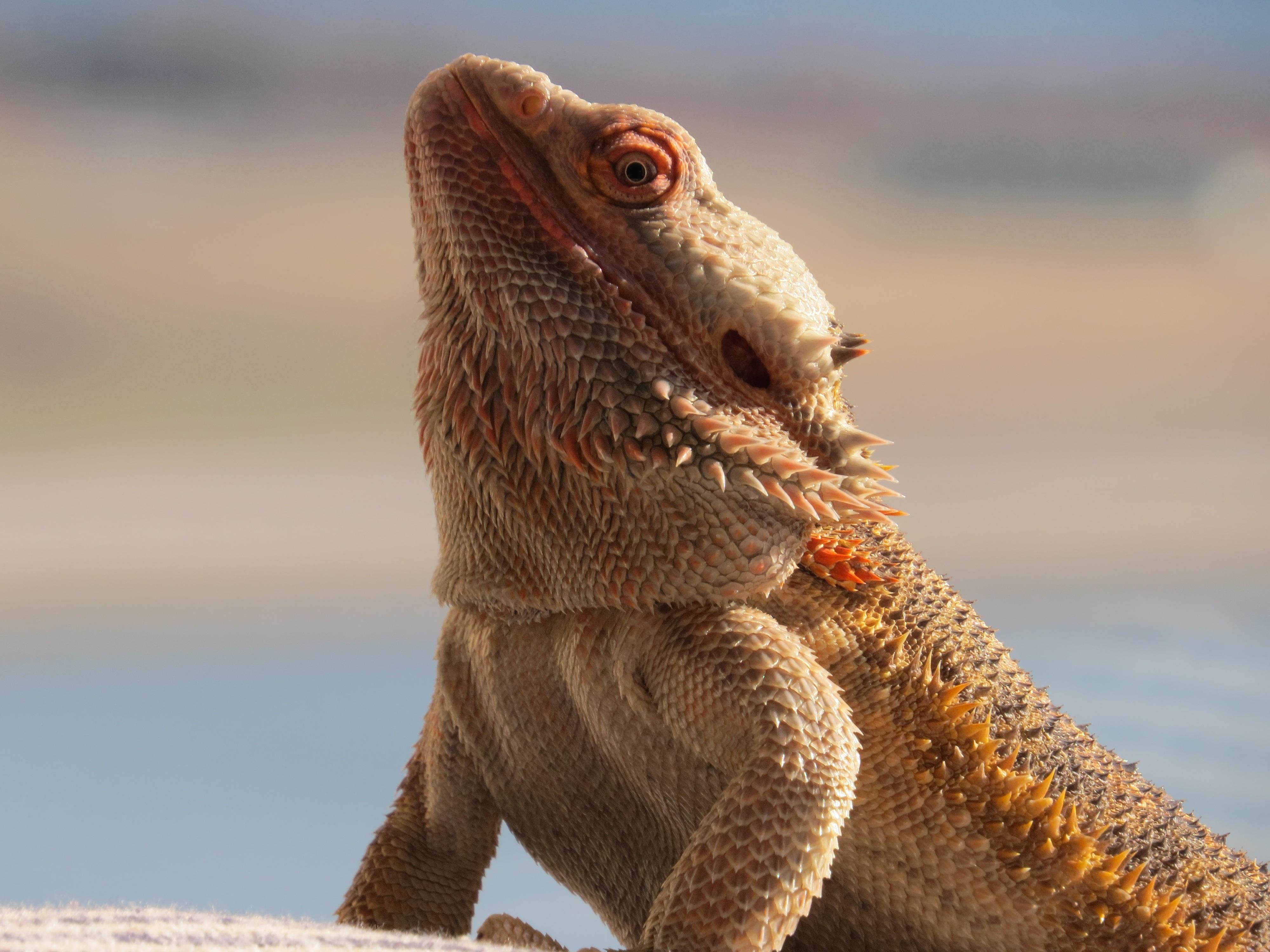144320 Hintergrundbild herunterladen Tiere, Eidechse, Reptil, Reptile, Bärtiger Drache, Bart-Agam - Bildschirmschoner und Bilder kostenlos