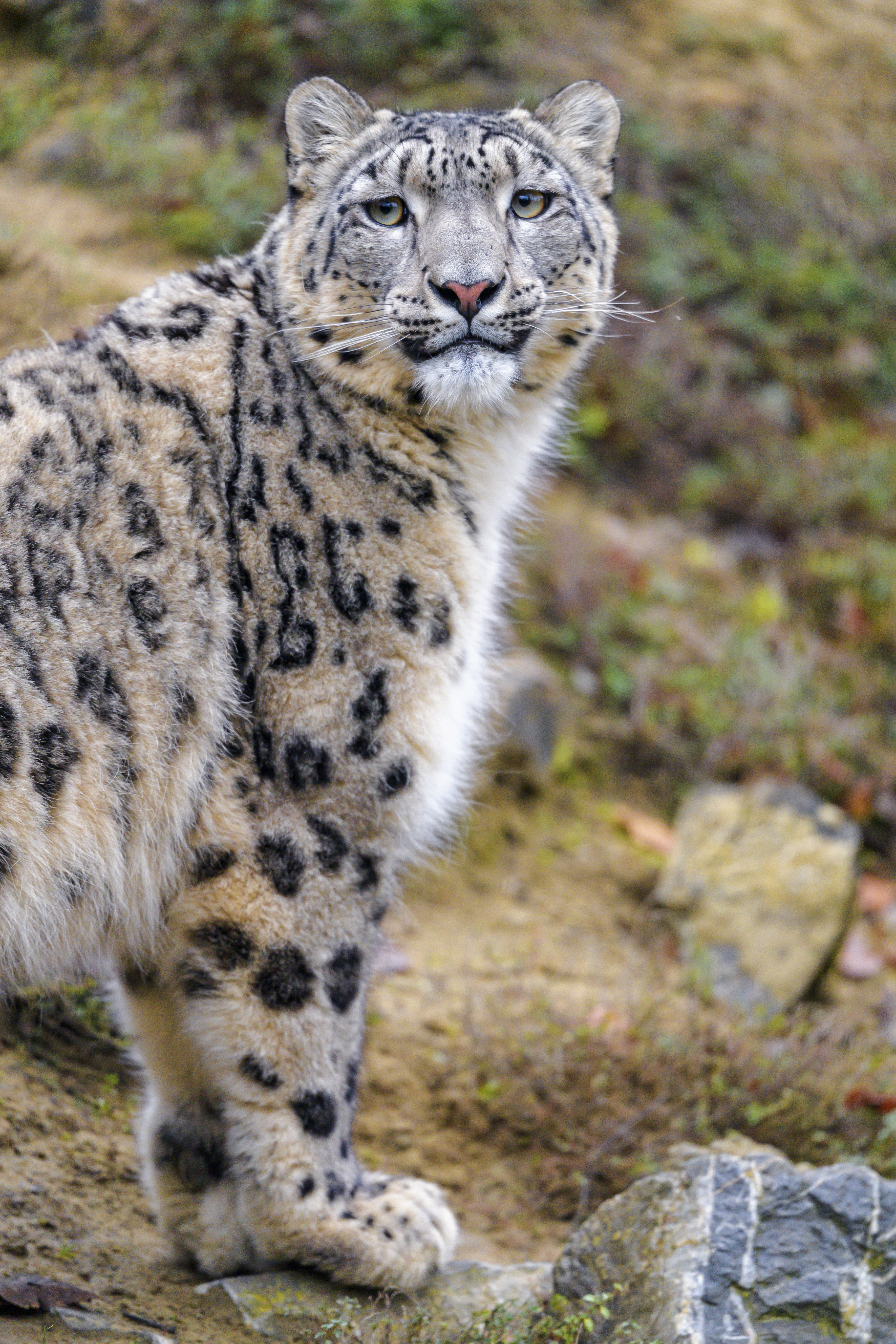 123251 download wallpaper Animals, Animal, Predator, Wild, Sight, Opinion, Snow Leopard screensavers and pictures for free