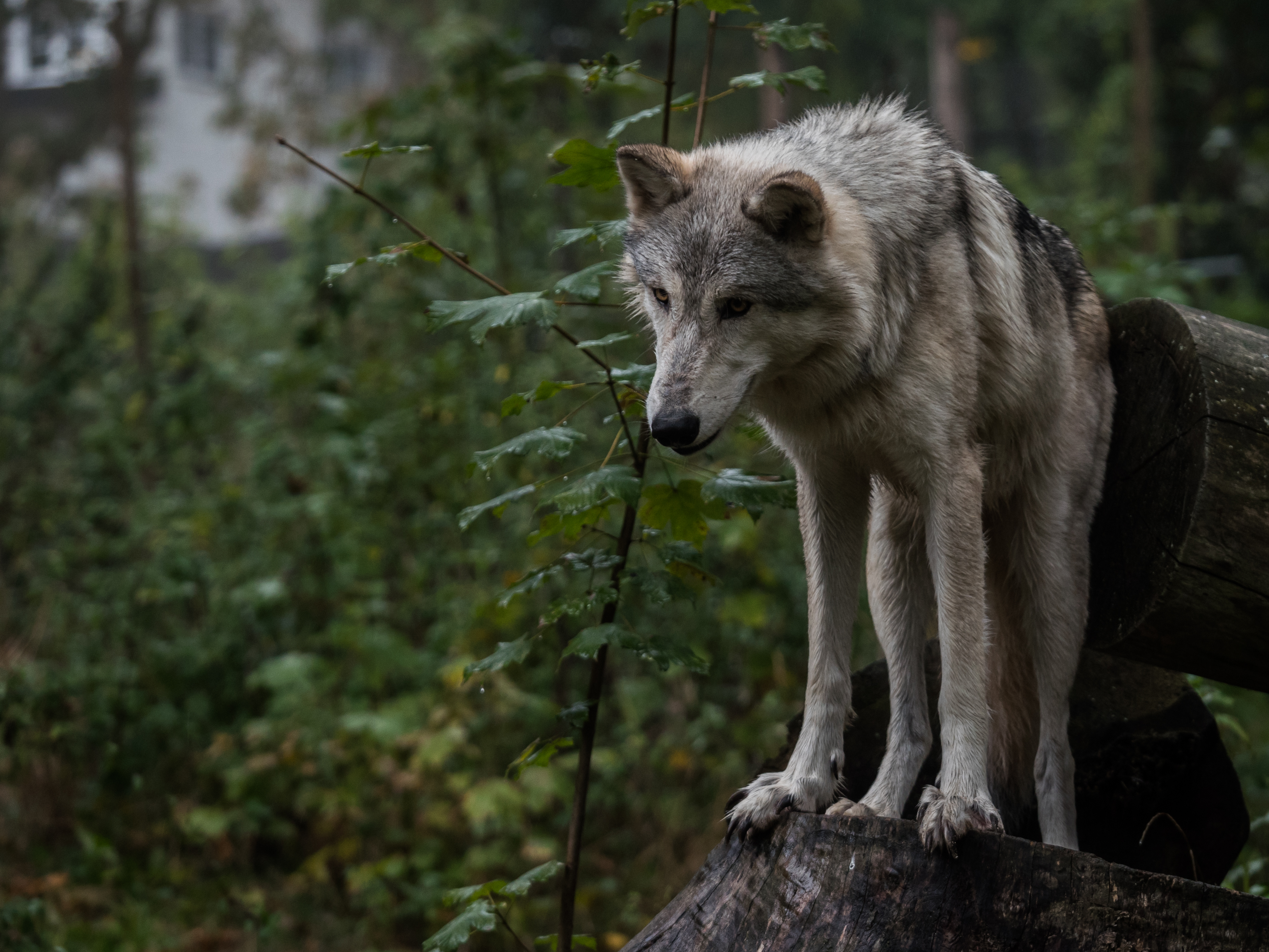 130466 download wallpaper Animals, Wolf, Predator, Grey, Leaves screensavers and pictures for free