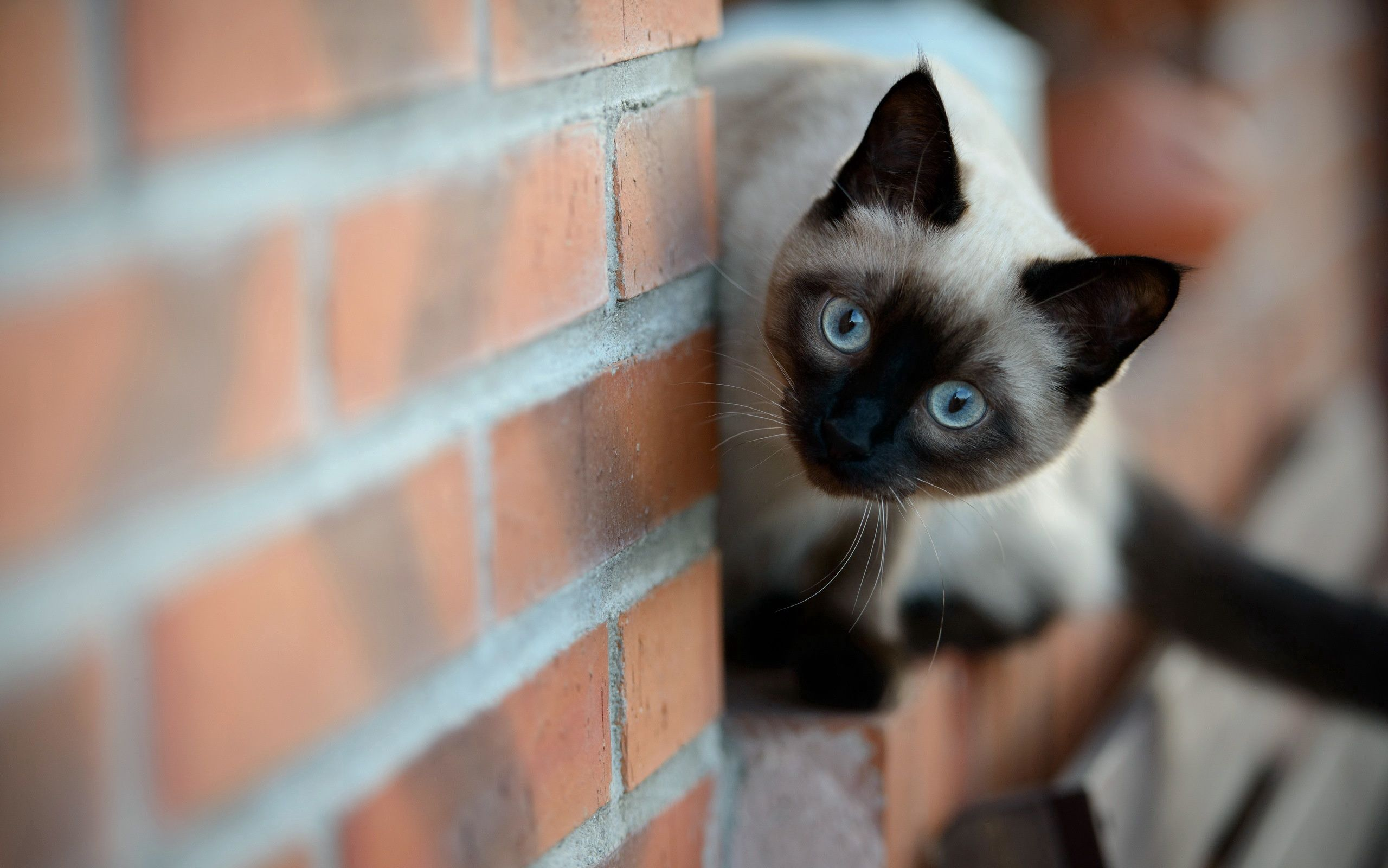 76722 Screensavers and Wallpapers Wall for phone. Download Animals, Cat, Wall, Brick, Siamese pictures for free