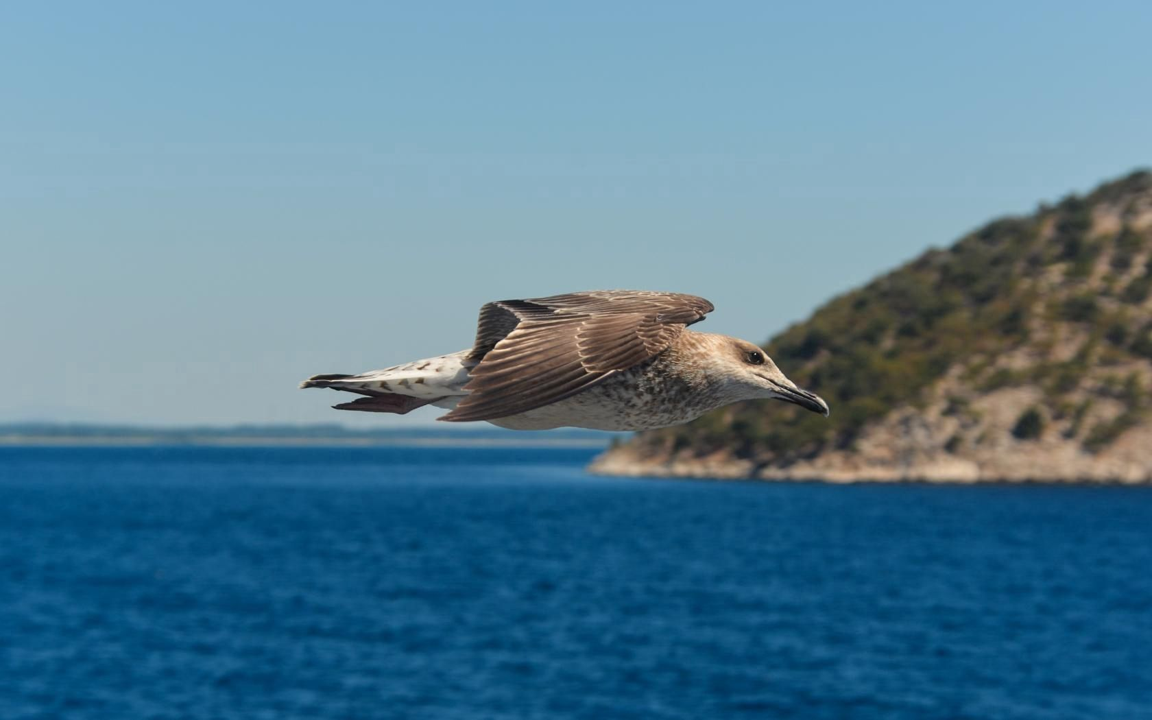 89608 download wallpaper Animals, Gull, Seagull, Bird, Flight, Sea screensavers and pictures for free