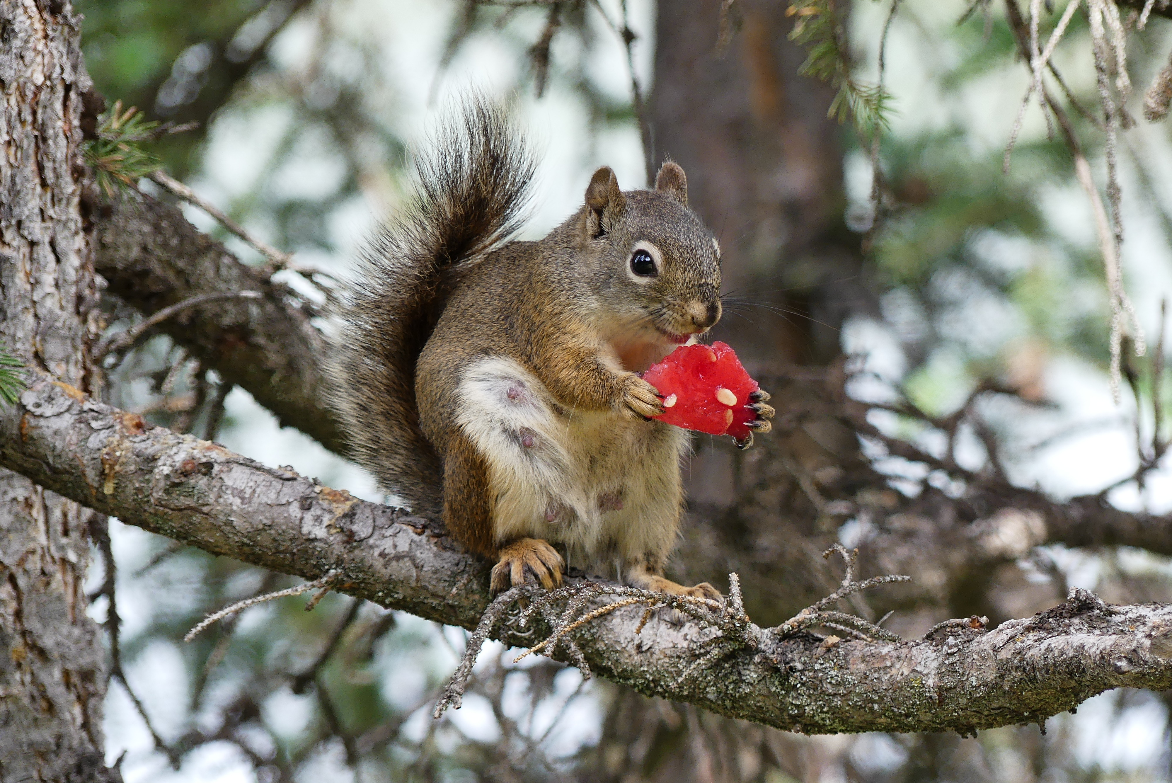 77736 download wallpaper Animals, Squirrel, Rodent, Fluffy, Branch, Watermelon screensavers and pictures for free