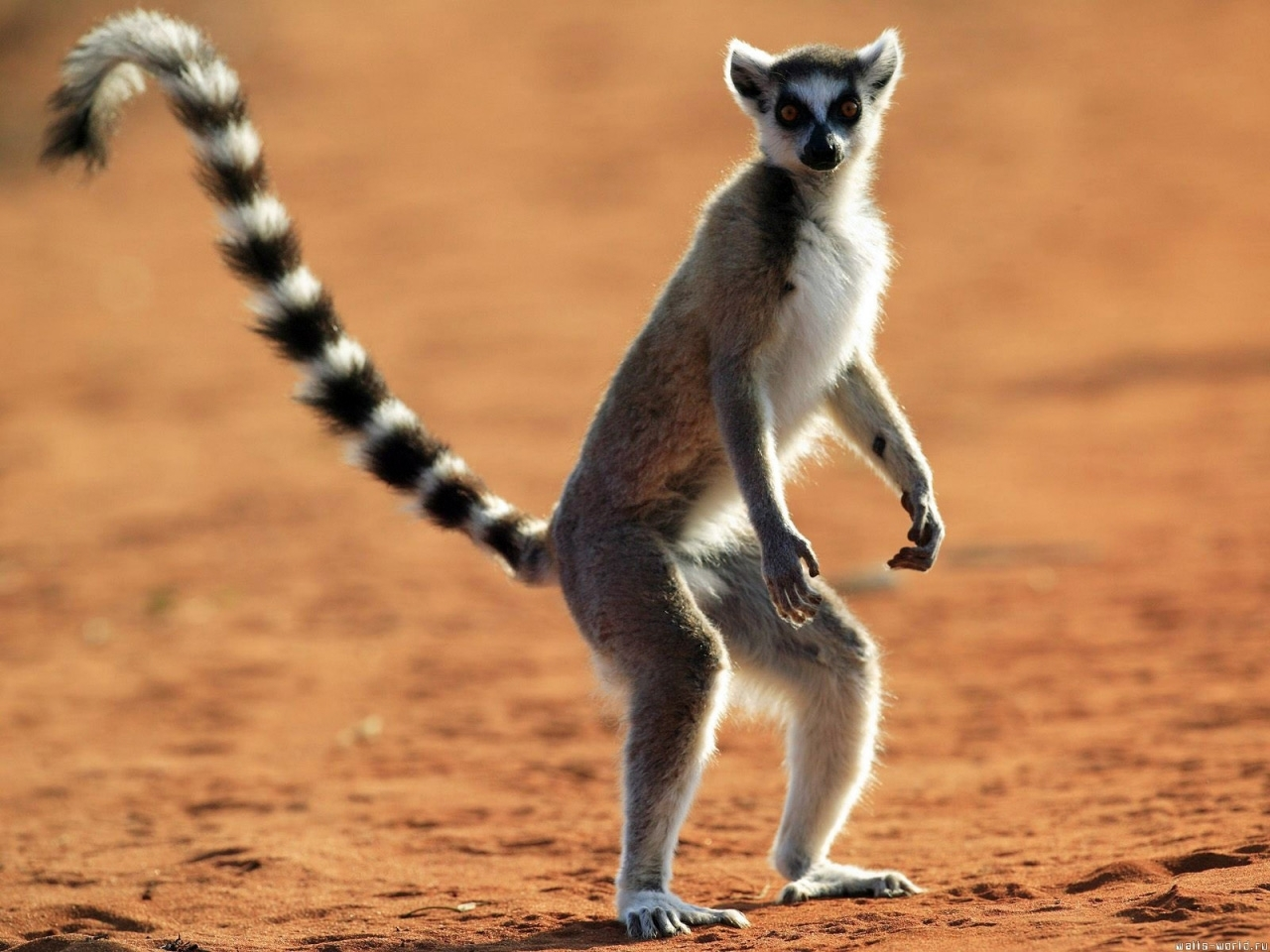 8218 download wallpaper Animals, Lemurs screensavers and pictures for free