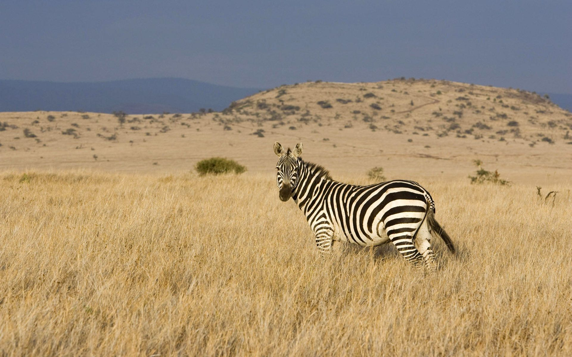 93089 download wallpaper Animals, Zebra, Grass, Striped, Climb, Valley, Steppe screensavers and pictures for free