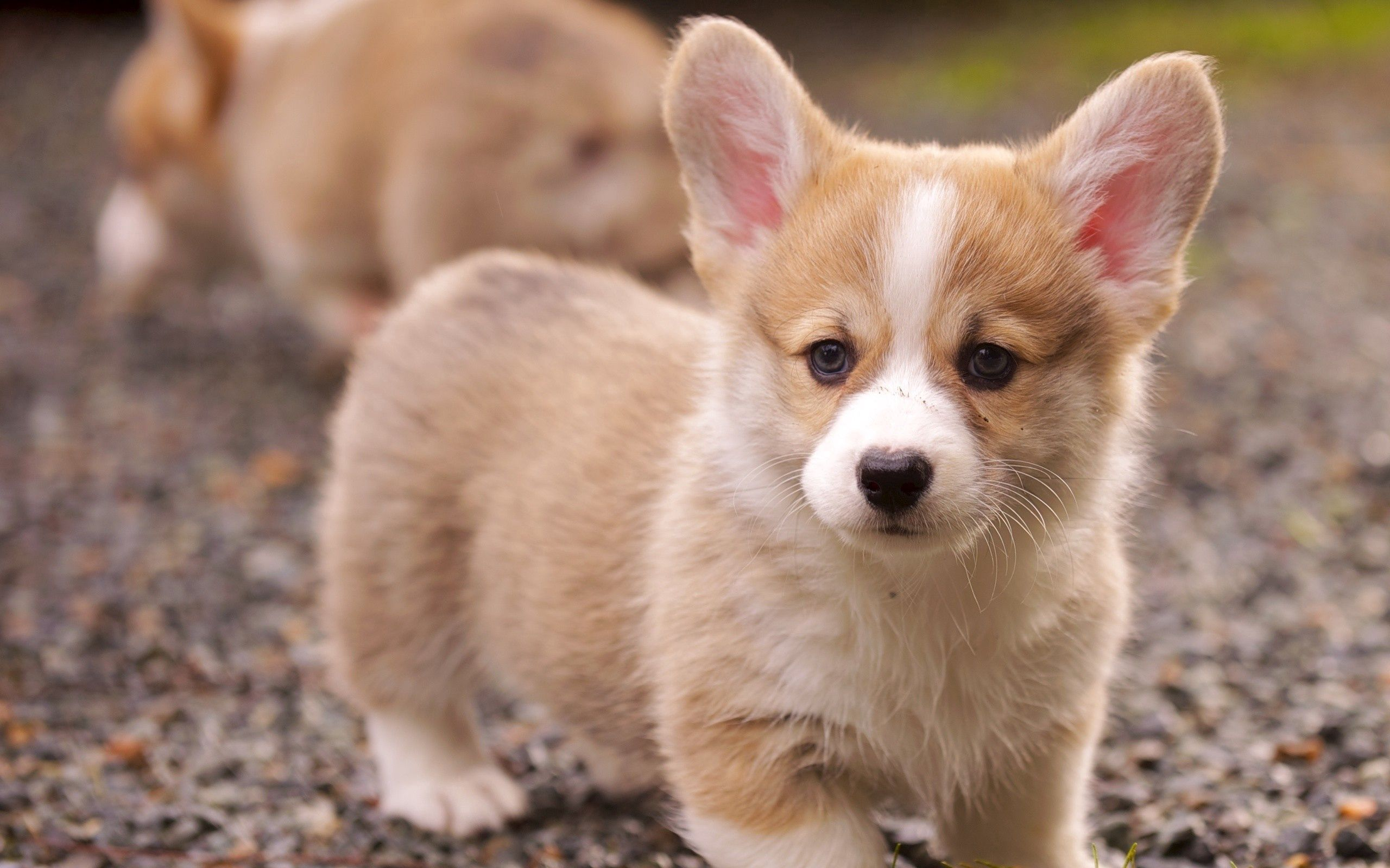61214 download wallpaper Animals, Puppy, Muzzle, Sight, Opinion, Grass, Ears screensavers and pictures for free
