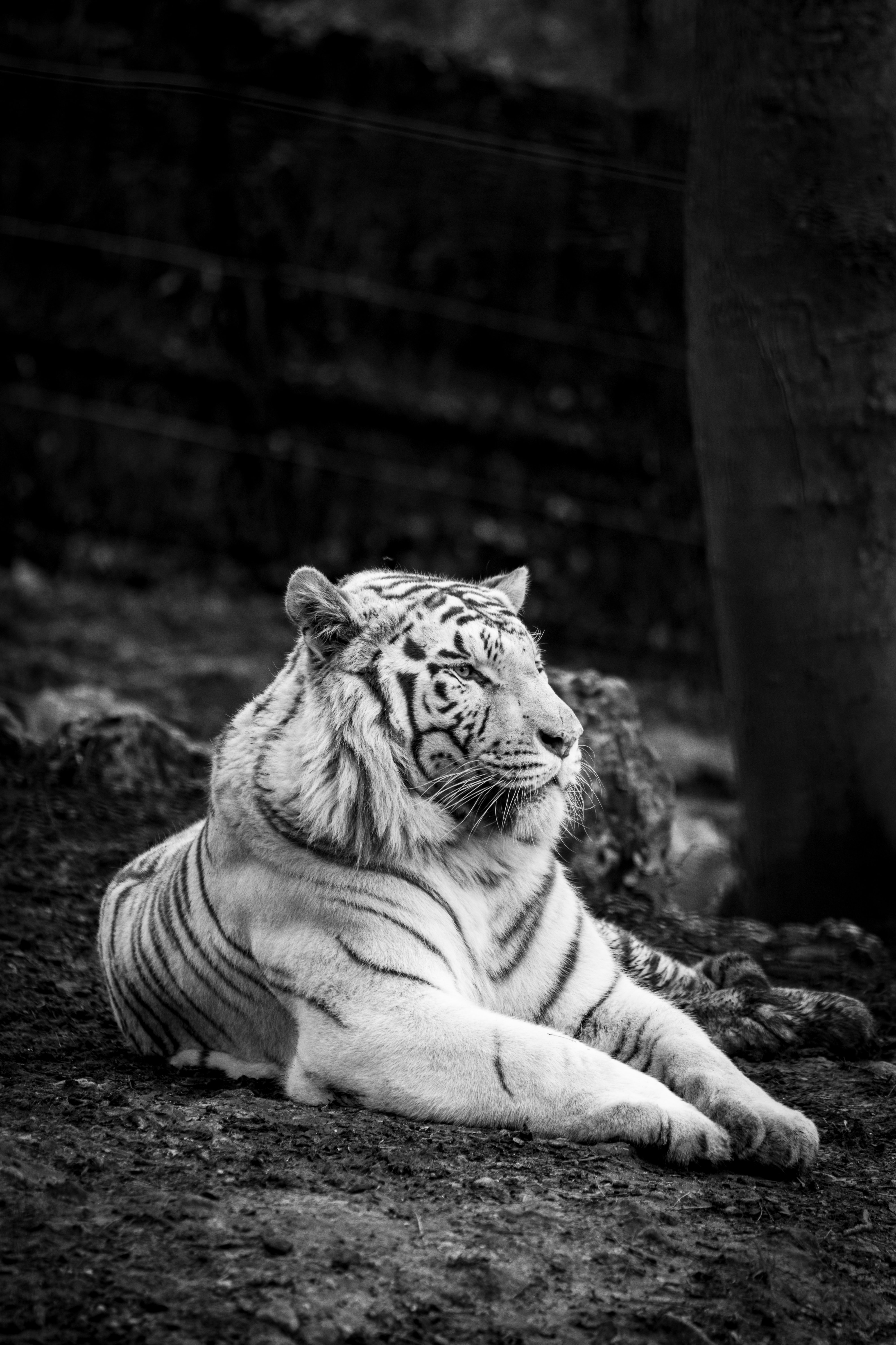 94853 download wallpaper Animals, Bengal Tiger, Tiger, Bw, Chb, Predator screensavers and pictures for free