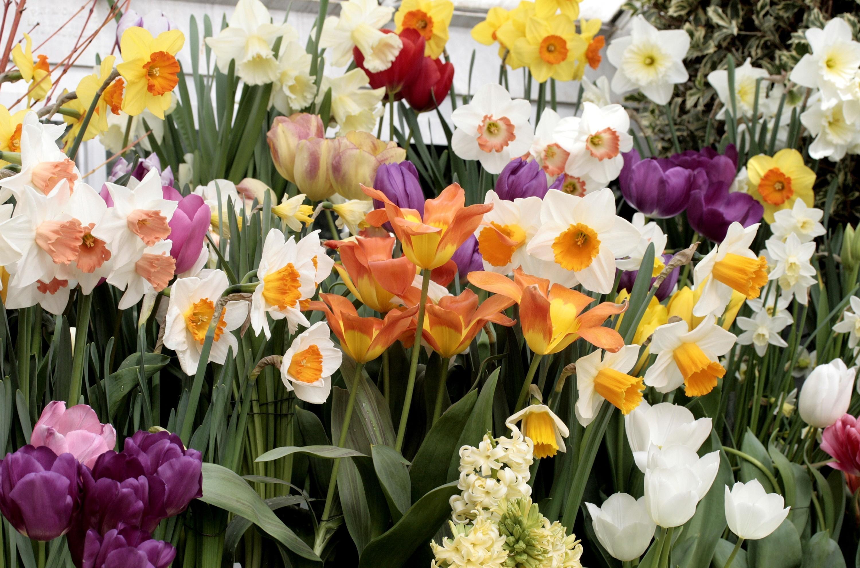 56925 Заставки и Обои Нарциссы на телефон. Скачать Цветы, Тюльпаны, Нарциссы, Гиацинт, Клумба, Множество картинки бесплатно