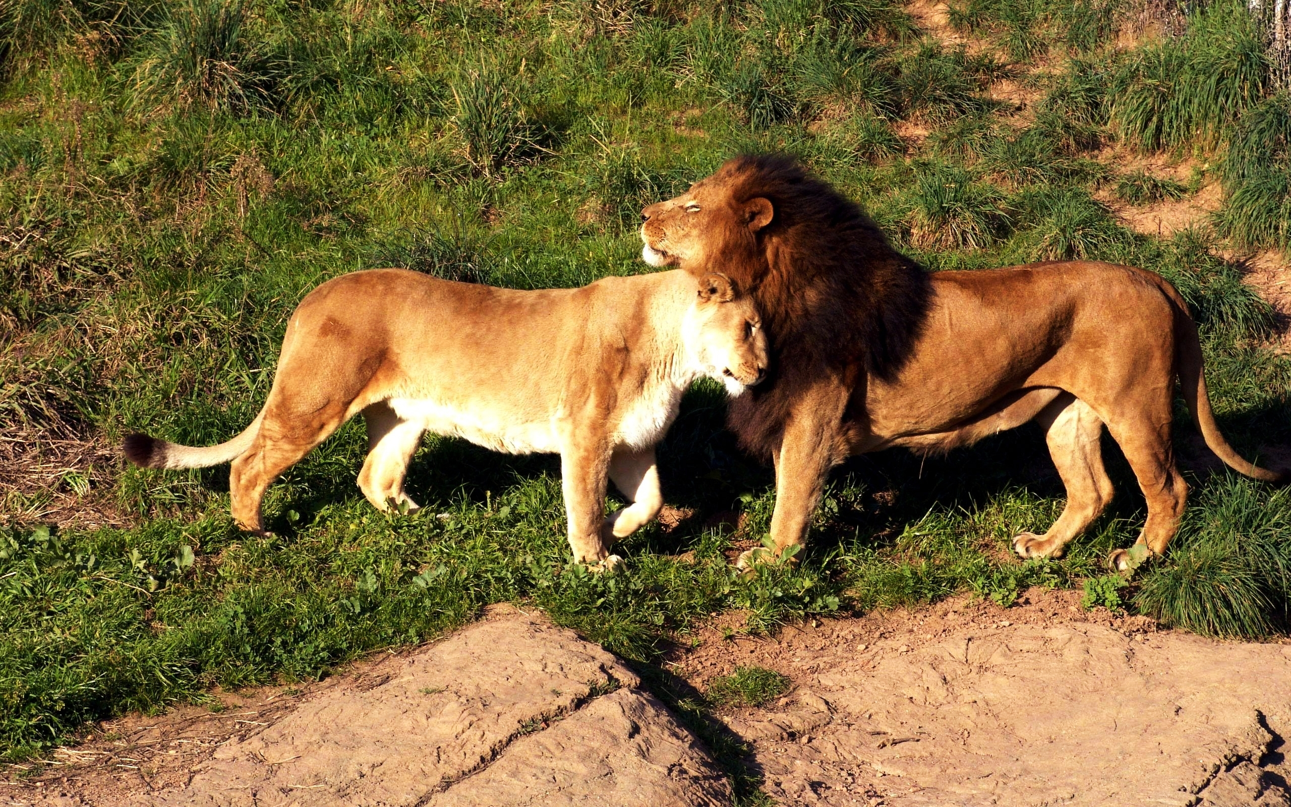 48328 скачать обои Животные, Львы - заставки и картинки бесплатно