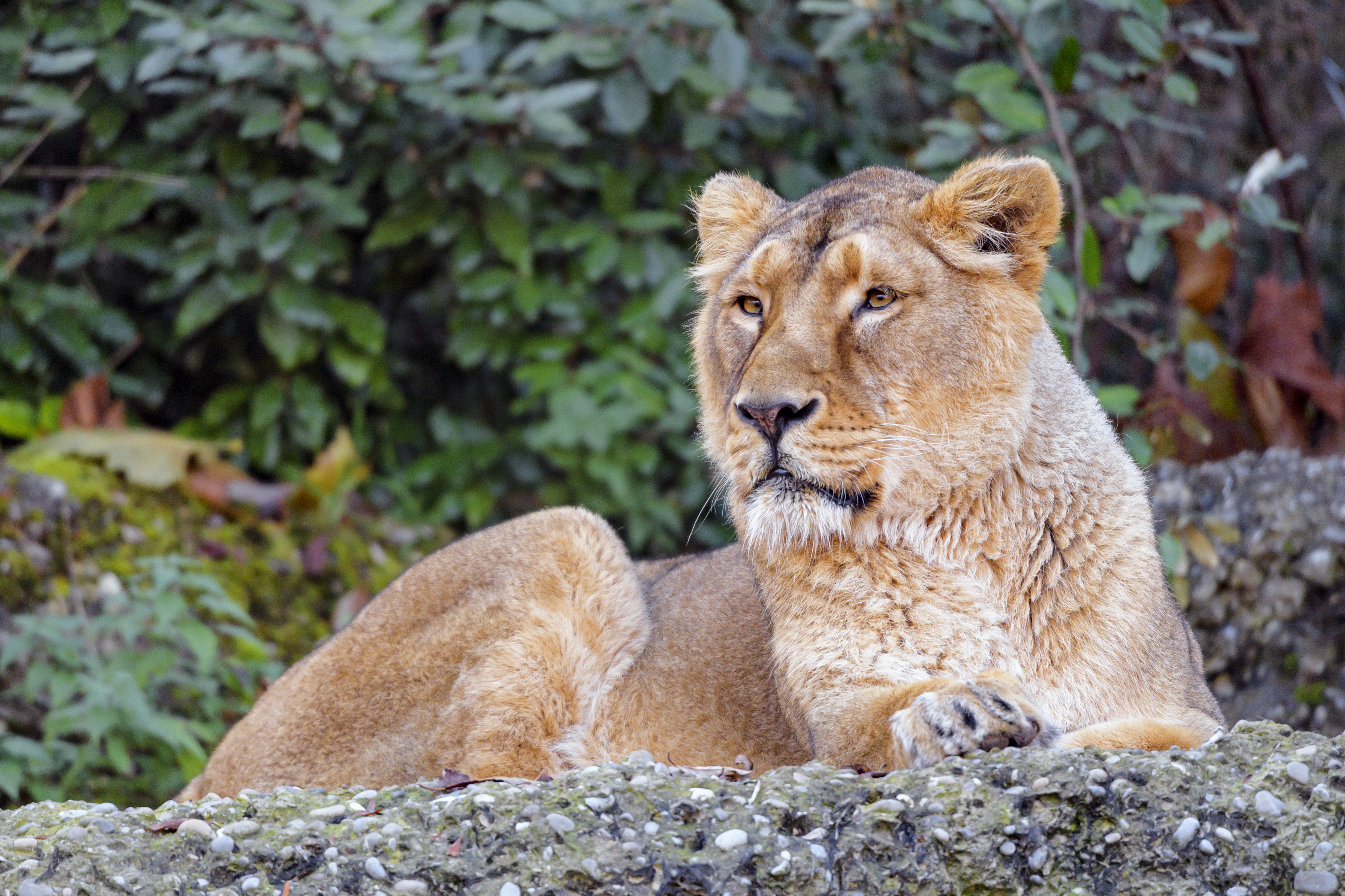 Download mobile wallpaper Animals, Brown, Big Cat, Lioness, Wildlife, Animal for free.
